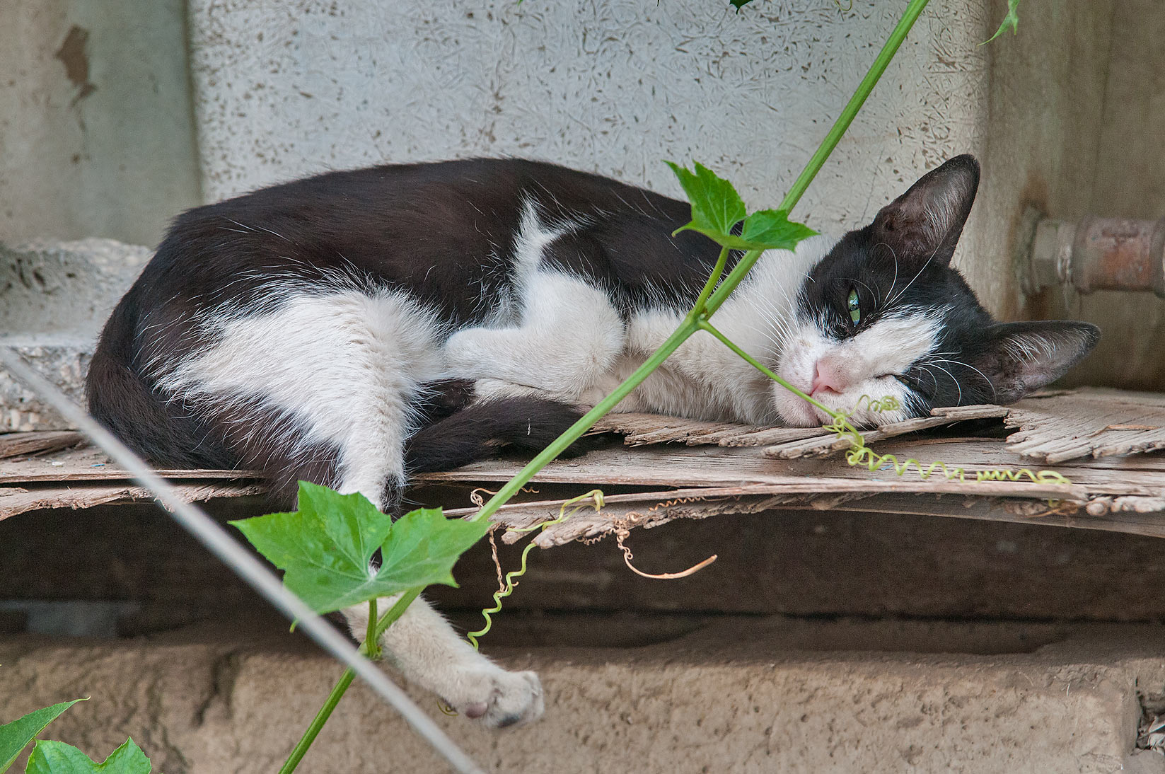 Bicolor Tuxedo cat awakening from deep sleep near...St., Musheirib area. Doha, Qatar