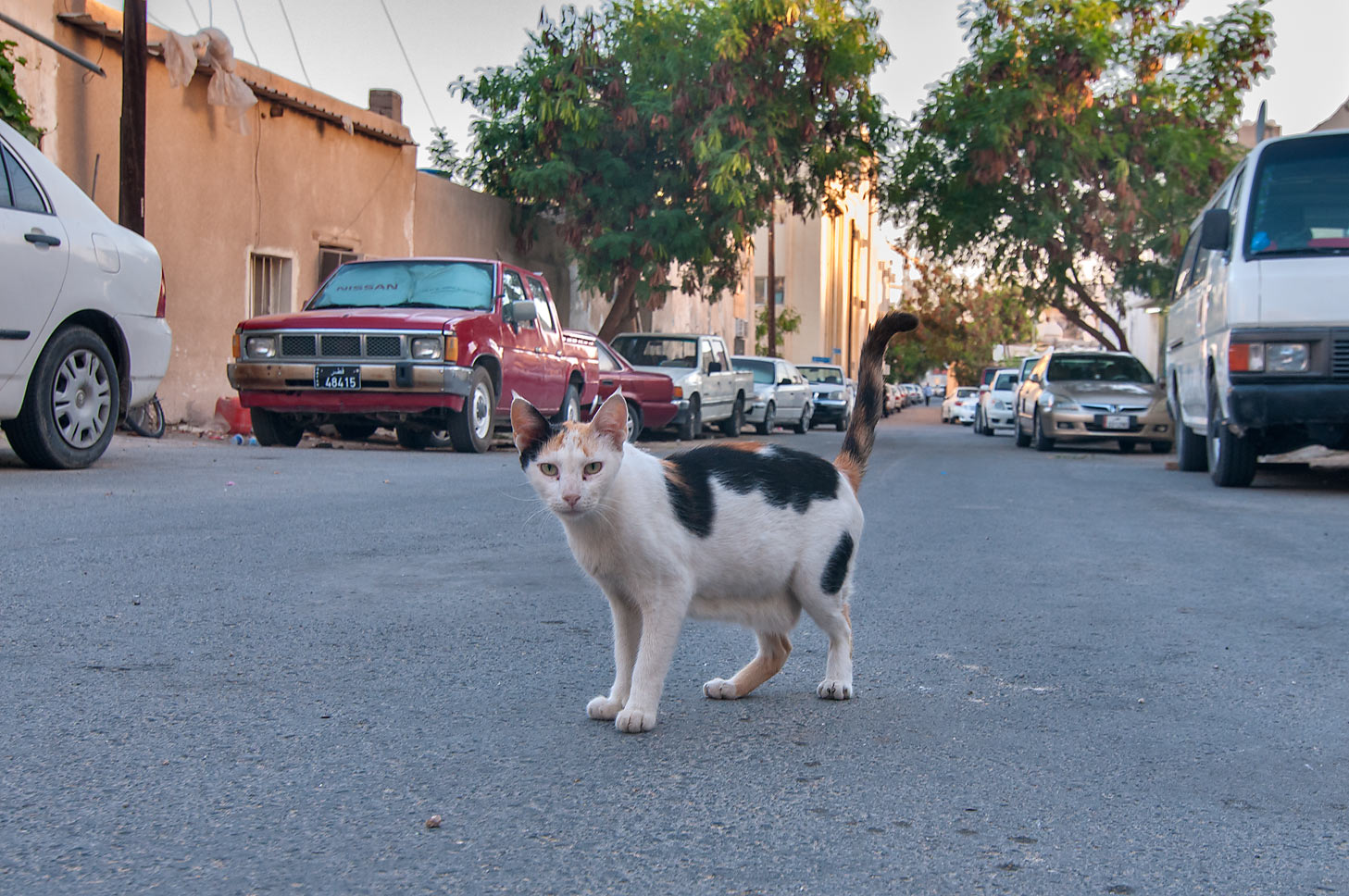 Calico cat walking on Umm Wishah St. near Al Diwan, Musheirib area. Doha, Qatar