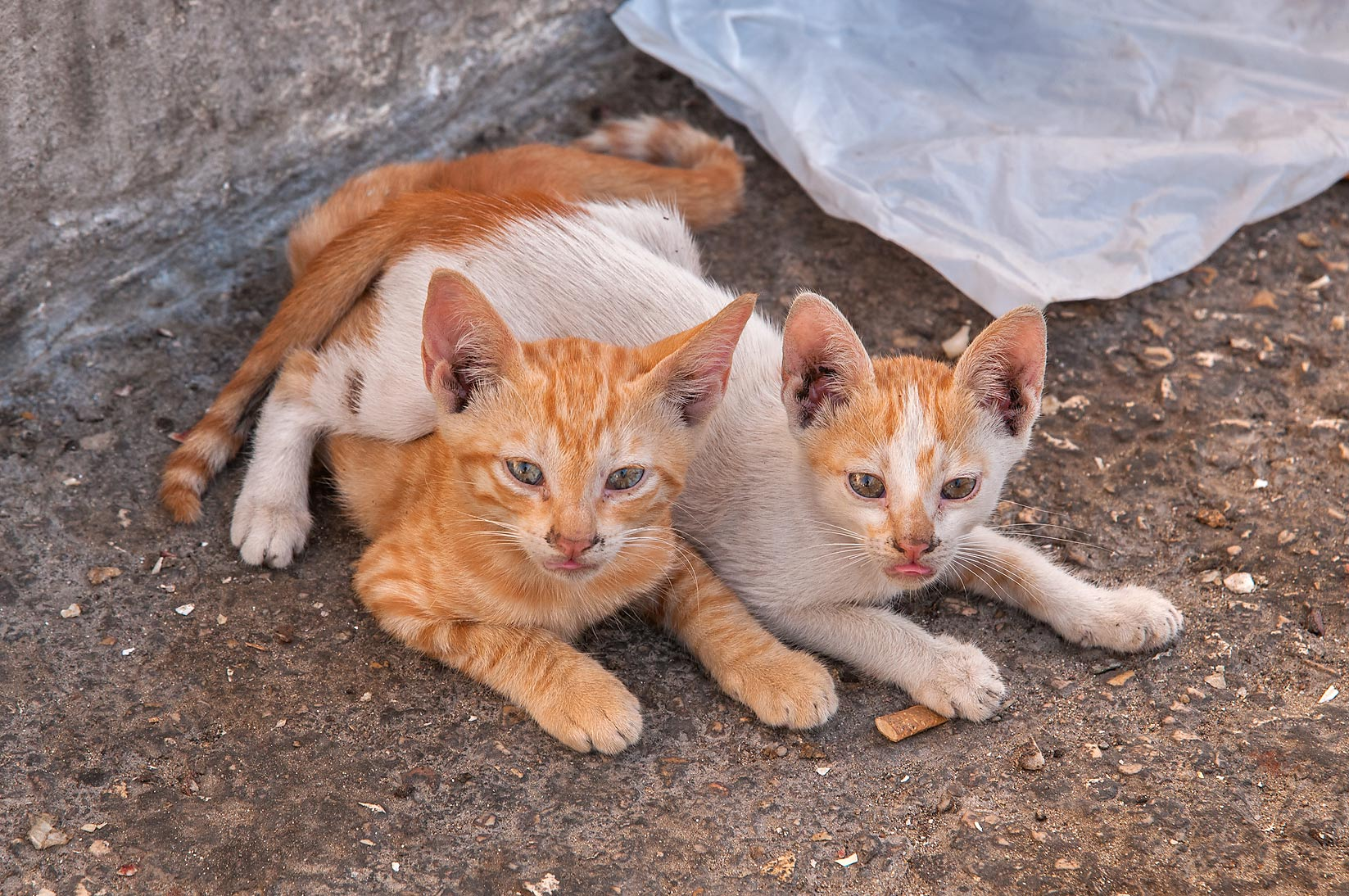 Pair of kitten at Ibn Al Haitham St., Fereej Abdel Aziz area. Doha, Qatar
