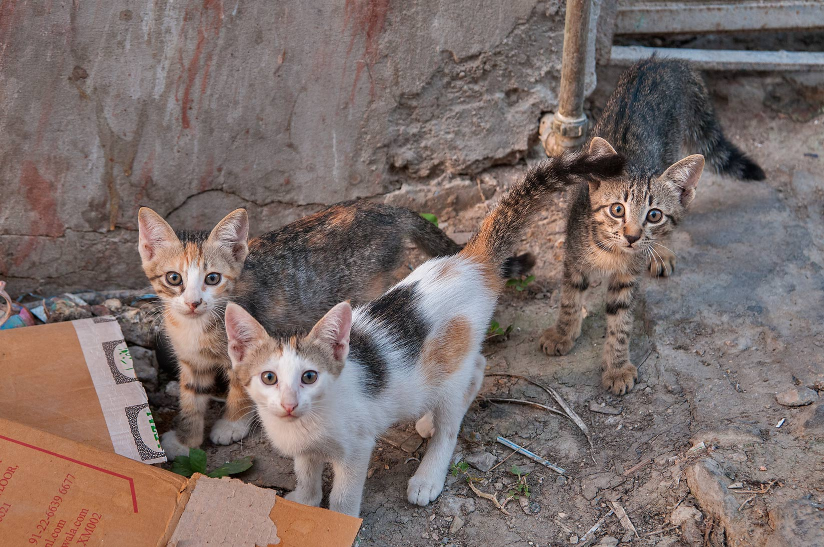 Family of cats at Sikkat Al Inshirah, Musheirib area. Doha, Qatar