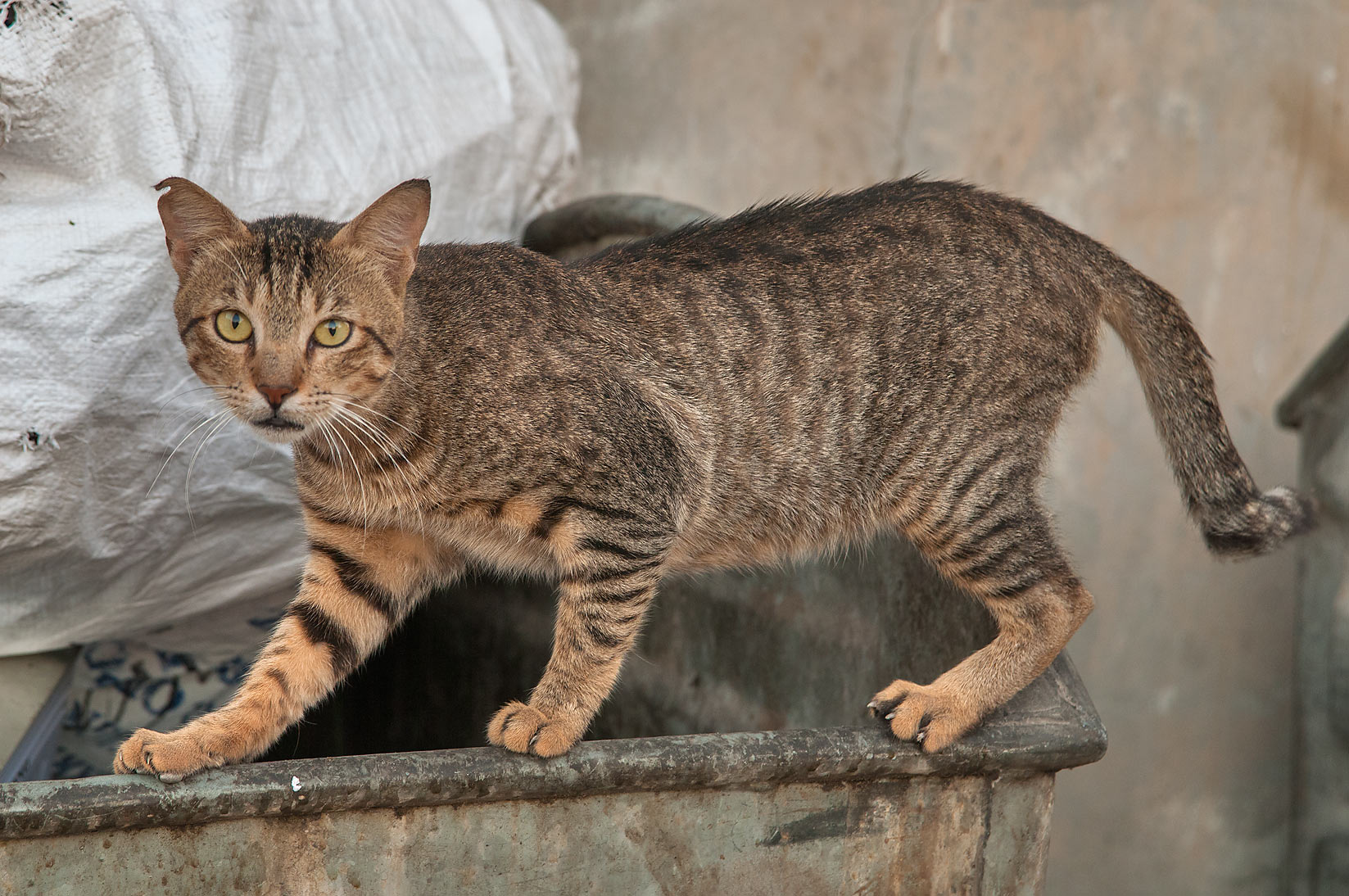 Tabby cat on a dumpster near Al Najada St., Musheirib area. Doha, Qatar