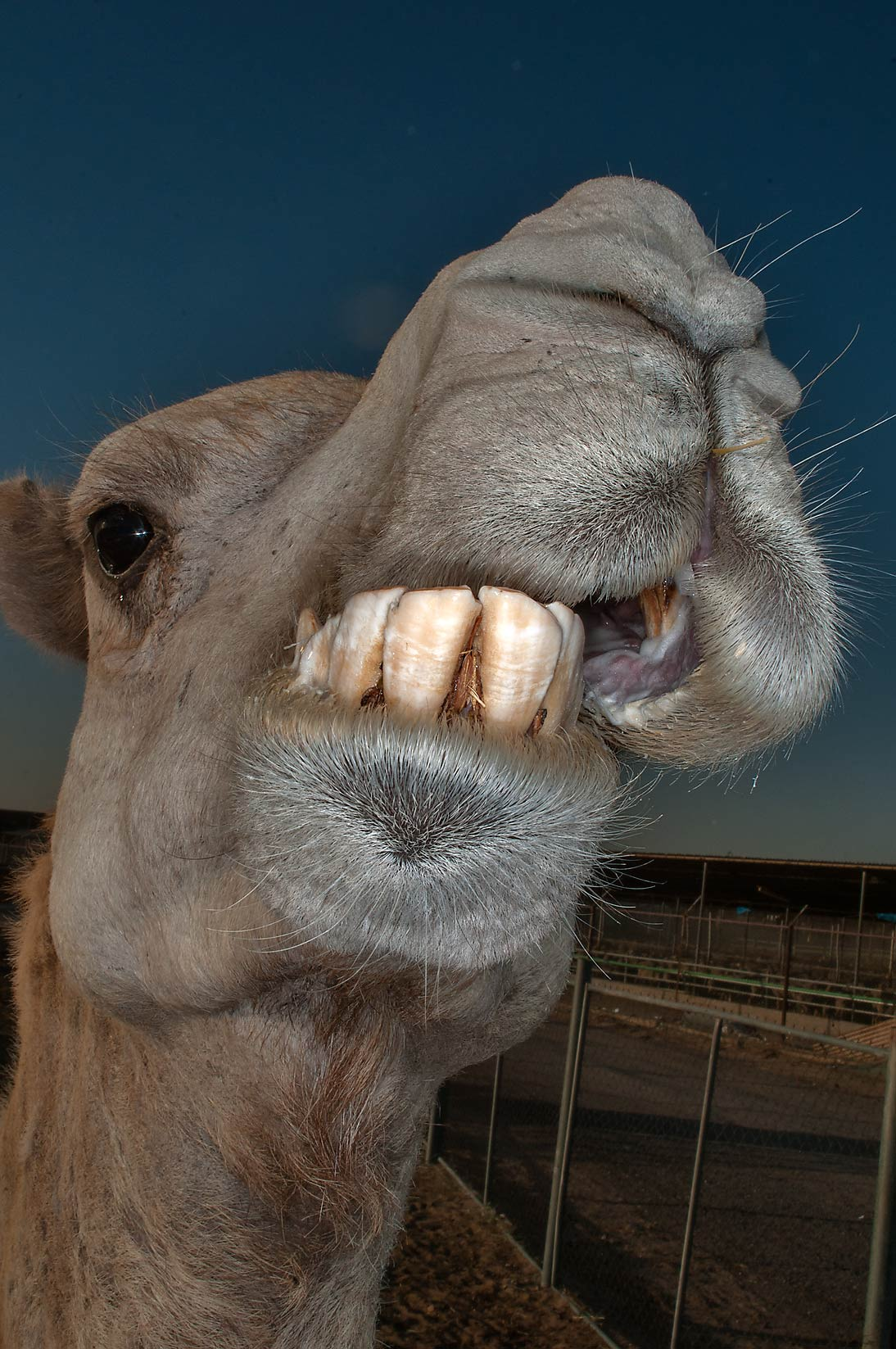 Chewing camel showing its teeth in Livestock Market, Abu Hamour area. Doha, Qatar