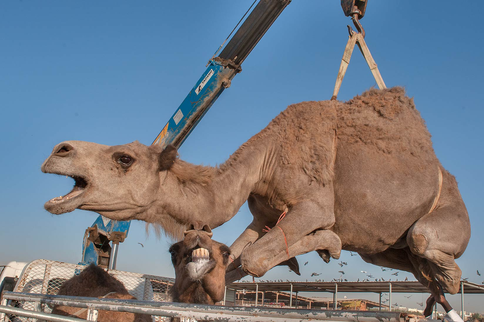 Camel moving by hydraulic crane in Livestock Market, Abu Hamour area. Doha, Qatar