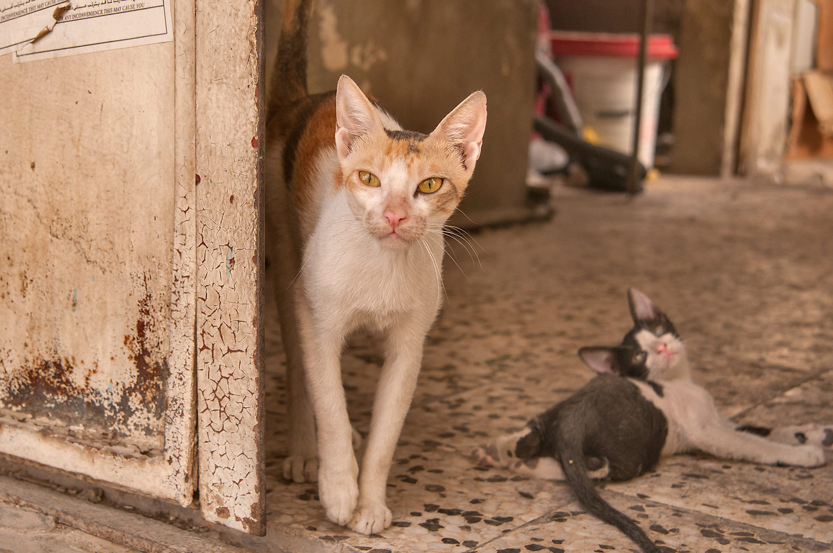 Family of cats in doorway at Al Mughira Bin Shuba...Al Doha Al Jadeeda area. Doha, Qatar