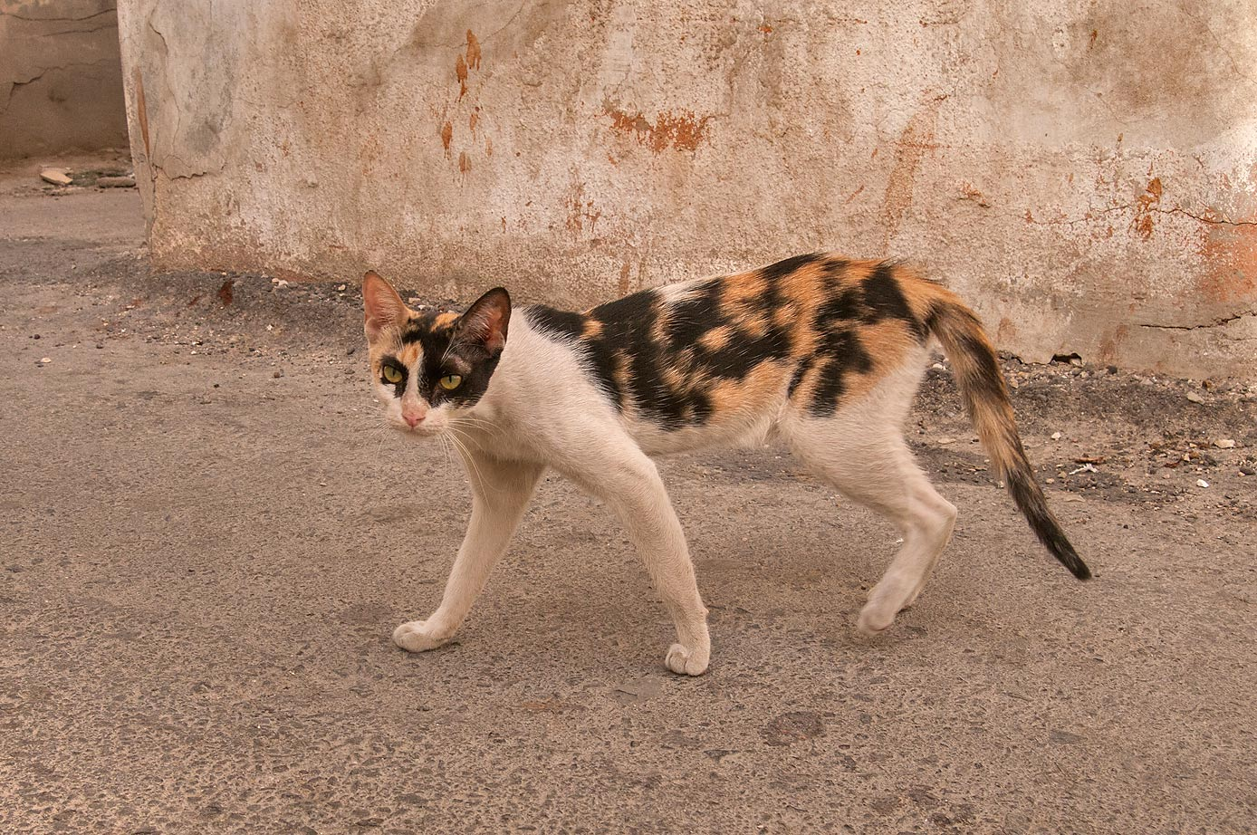 Calico cat walking near Al Maymoun St., Musheirib area. Doha, Qatar