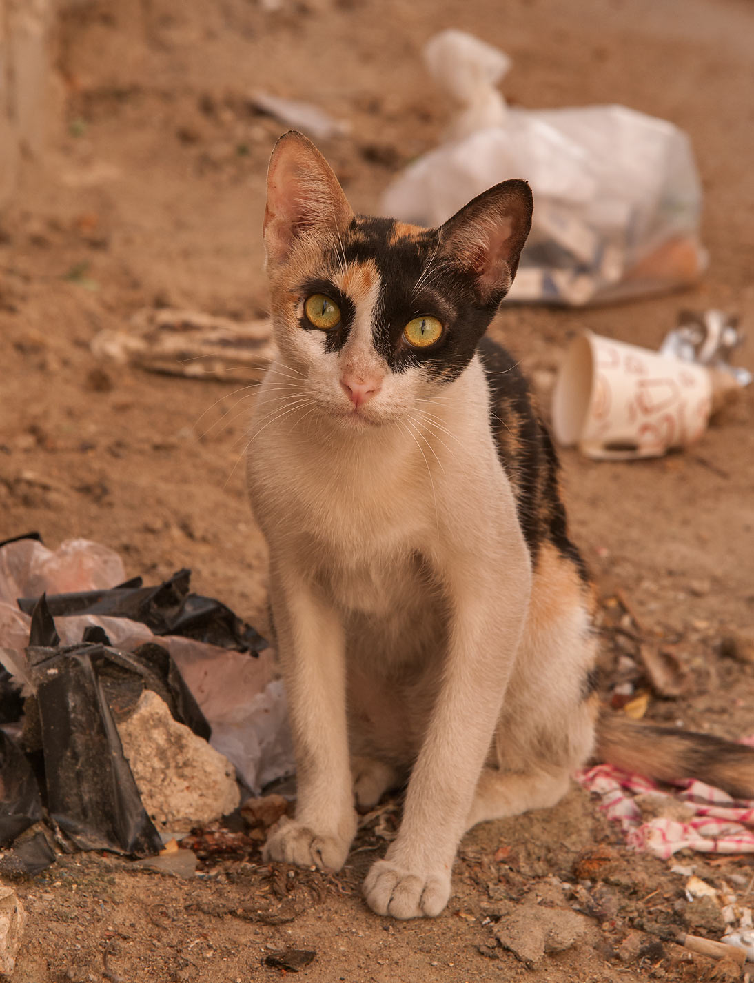 Calico cat sitting near Al Maymoun St., Musheirib area. Doha, Qatar