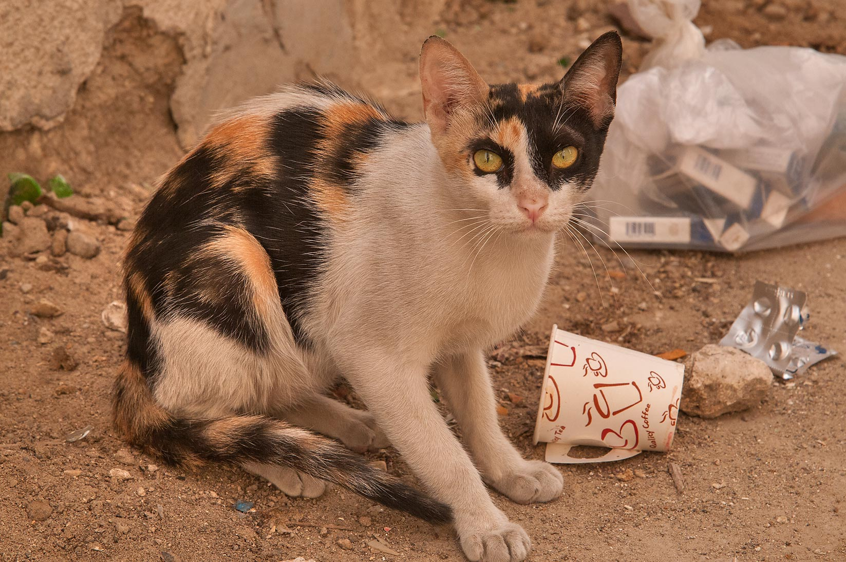 Calico cat near Al Maymoun St., Musheirib area. Doha, Qatar