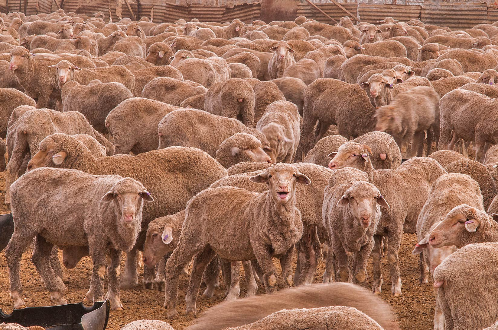 Sheep with lumpy wool crammed into a feedlot in...Market, Abu Hamour area. Doha, Qatar