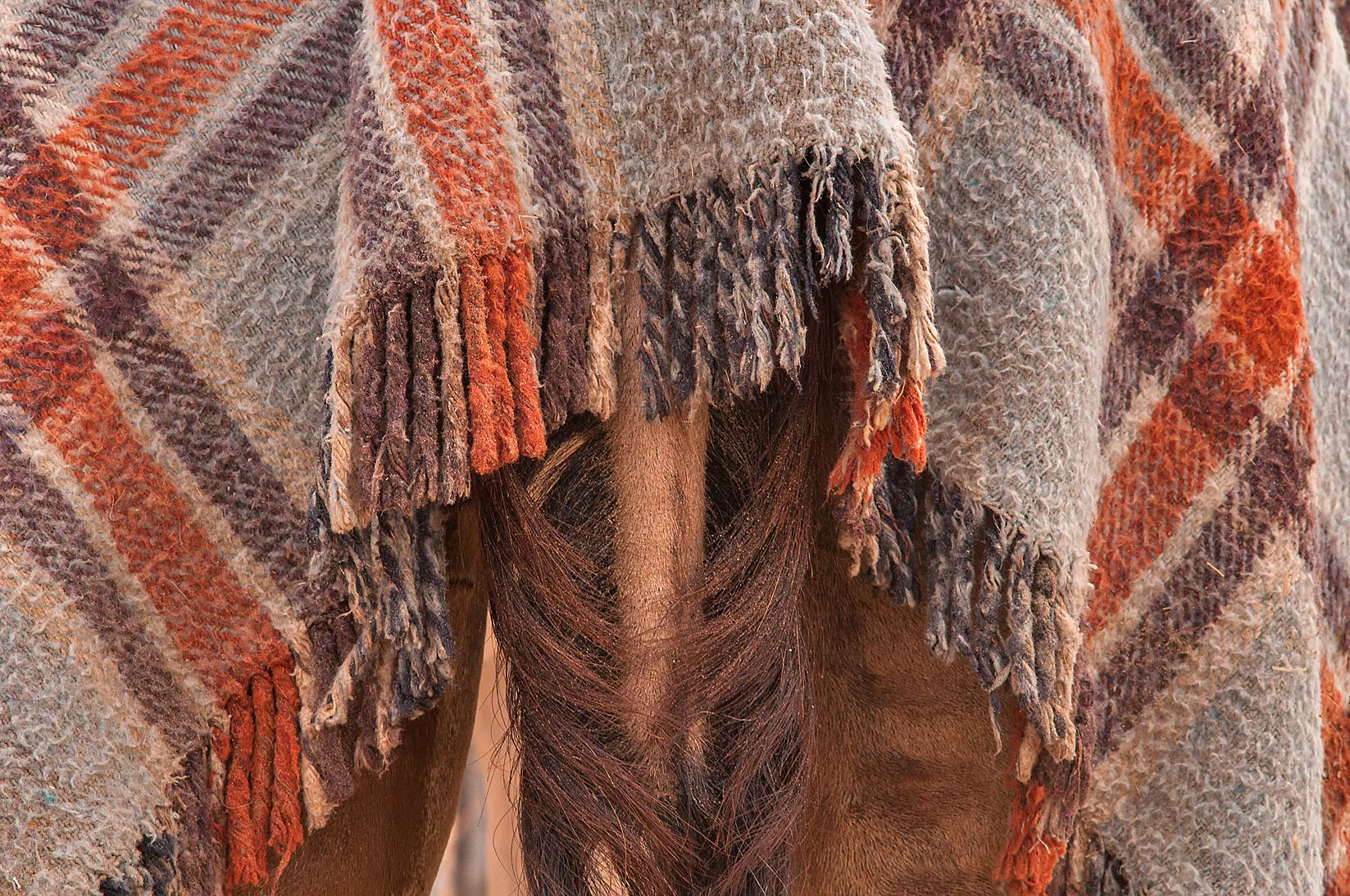 Camel sporting wool quilt cover over its tail in...Market, Abu Hamour area. Doha, Qatar
