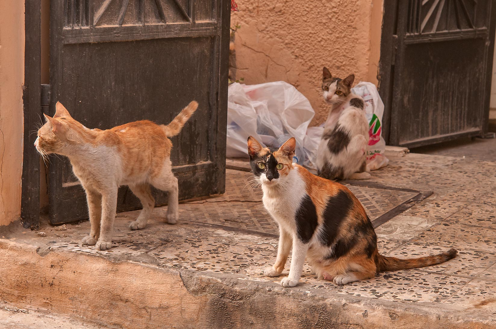 Family of cats at Al Thurayya St. in Najma area. Doha, Qatar