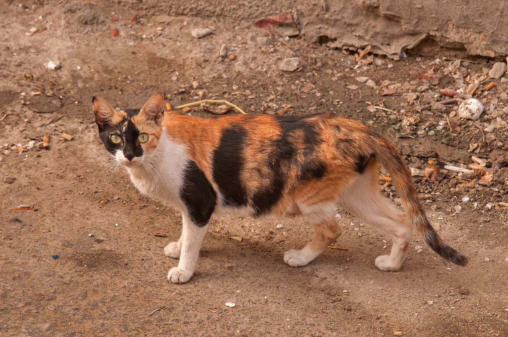 Calico cat at Al Thurayya St. in Najma area. Doha, Qatar