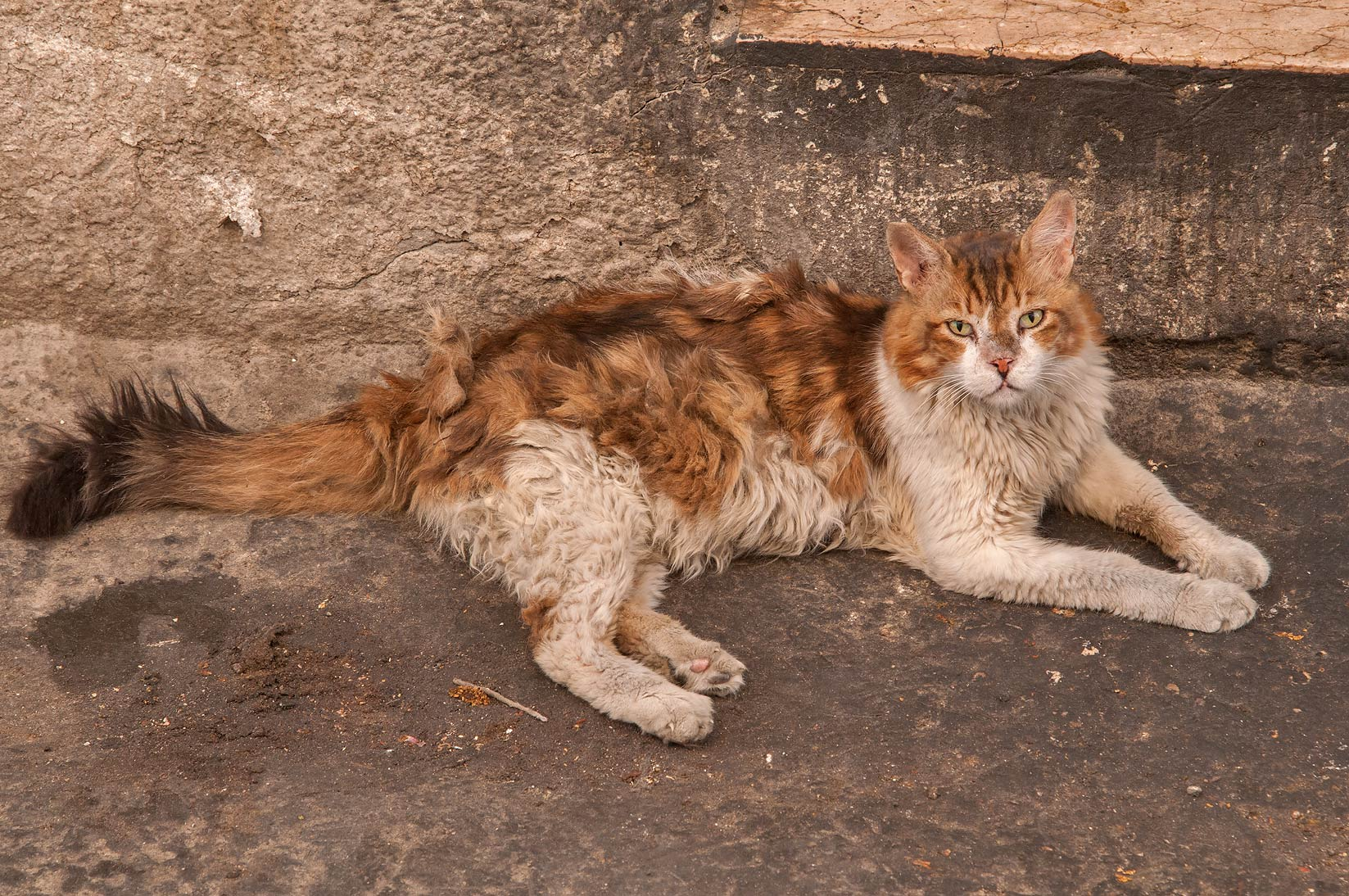 Long furred cat at Sikkat Al Safaa, a corner of Mansoura St., Najma area. Doha, Qatar