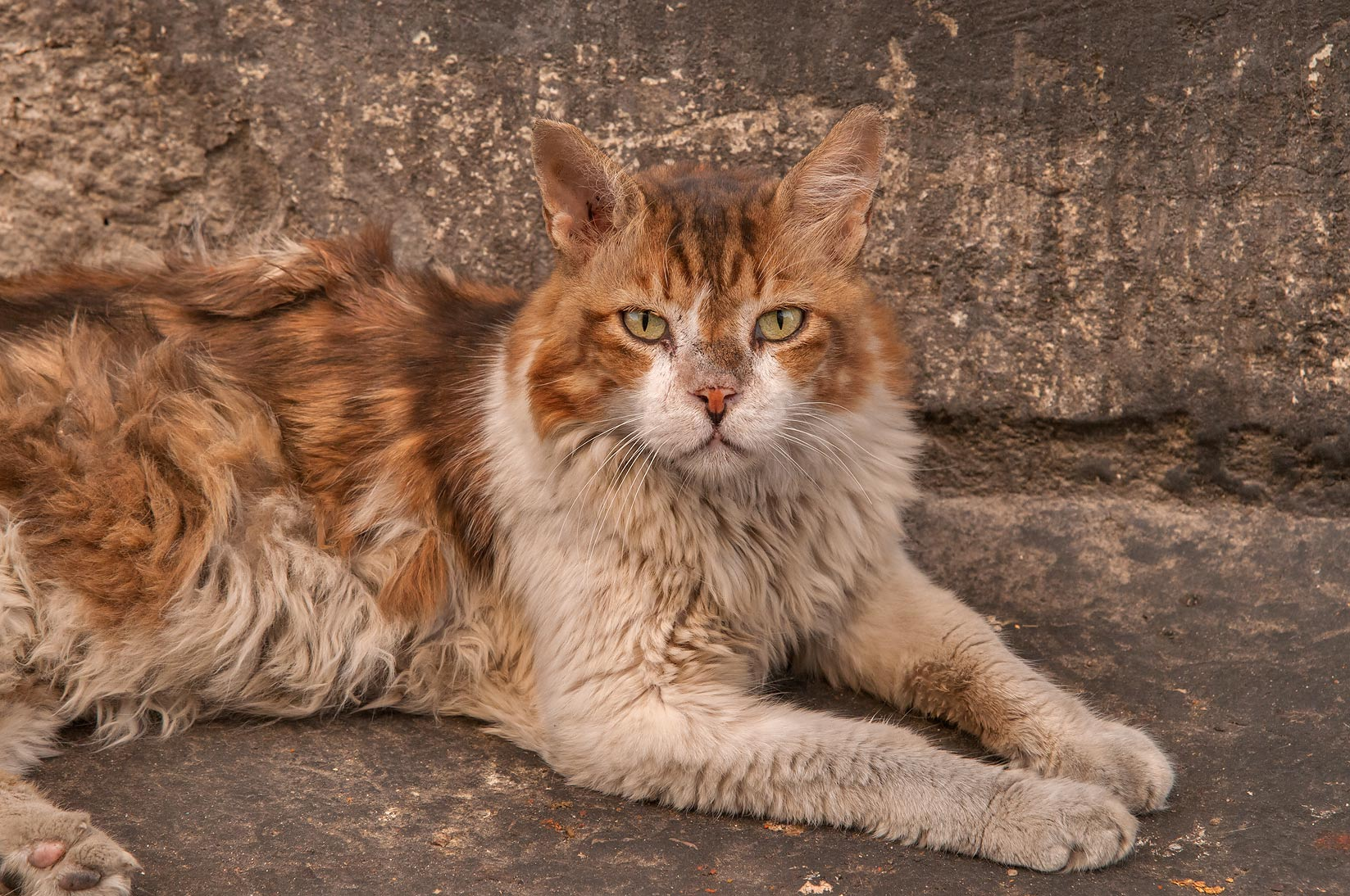 Cat with long uncombed fur resting at Sikkat Al...Mansoura St., Najma area. Doha, Qatar