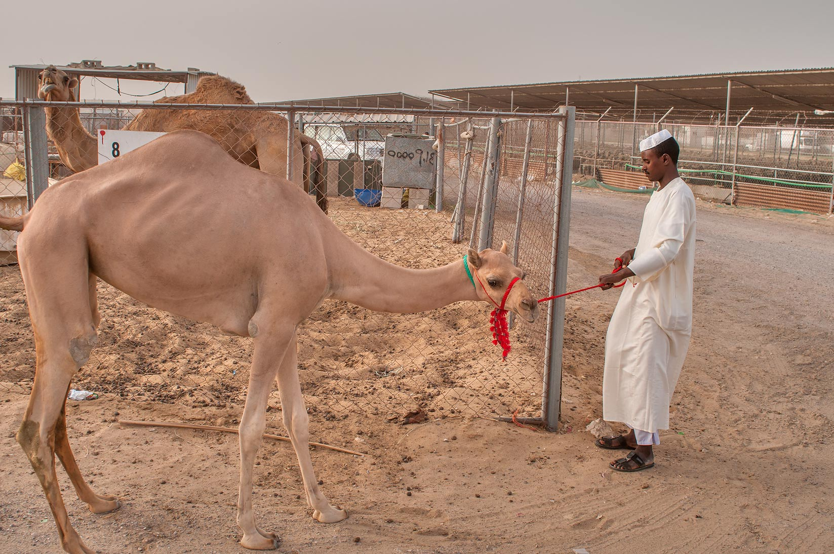 Shaved camel with smooth skin in Livestock Market, Abu Hamour area. Doha, Qatar