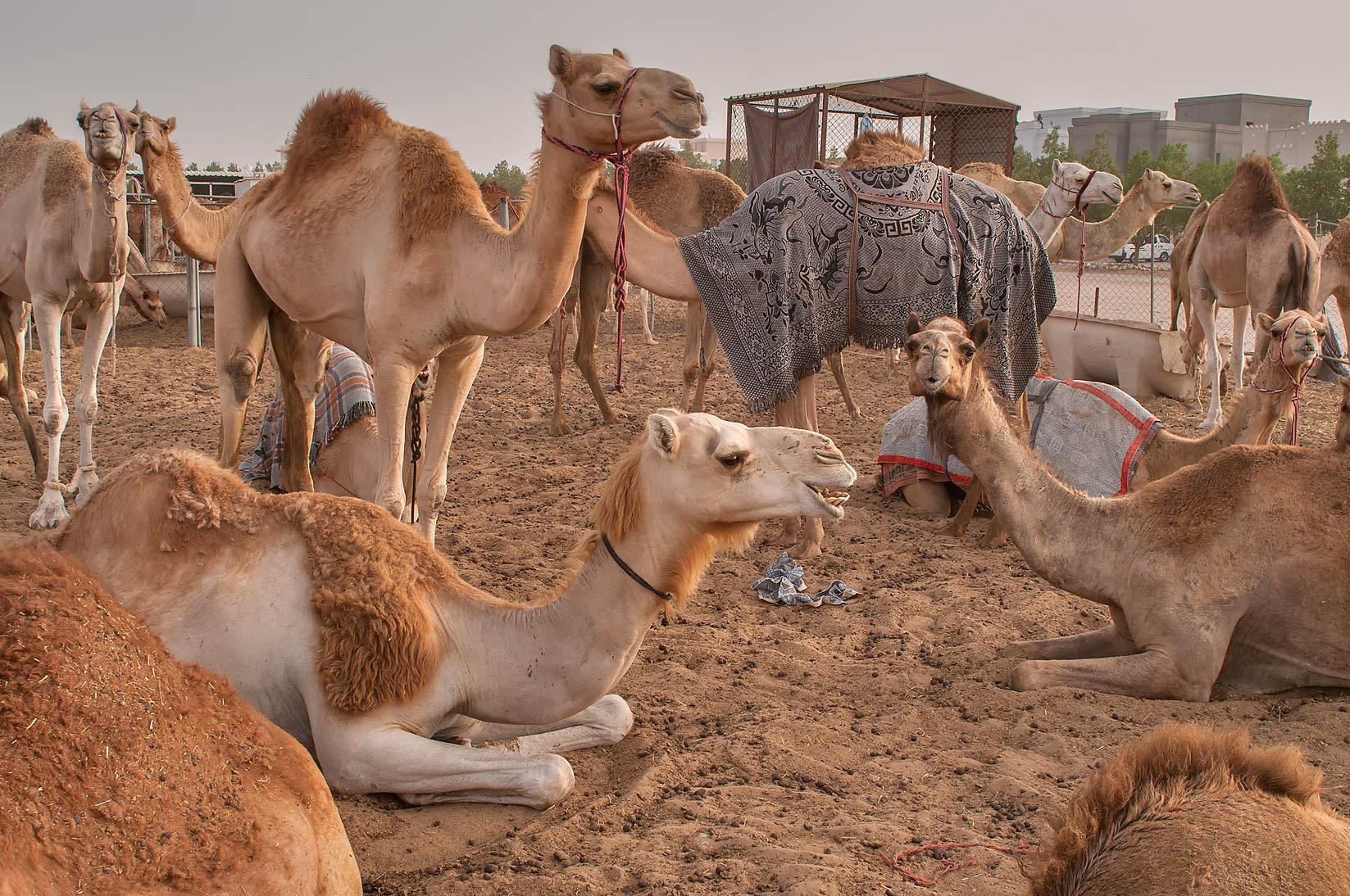 Group of sitting and standing camels in Livestock Market, Abu Hamour area. Doha, Qatar