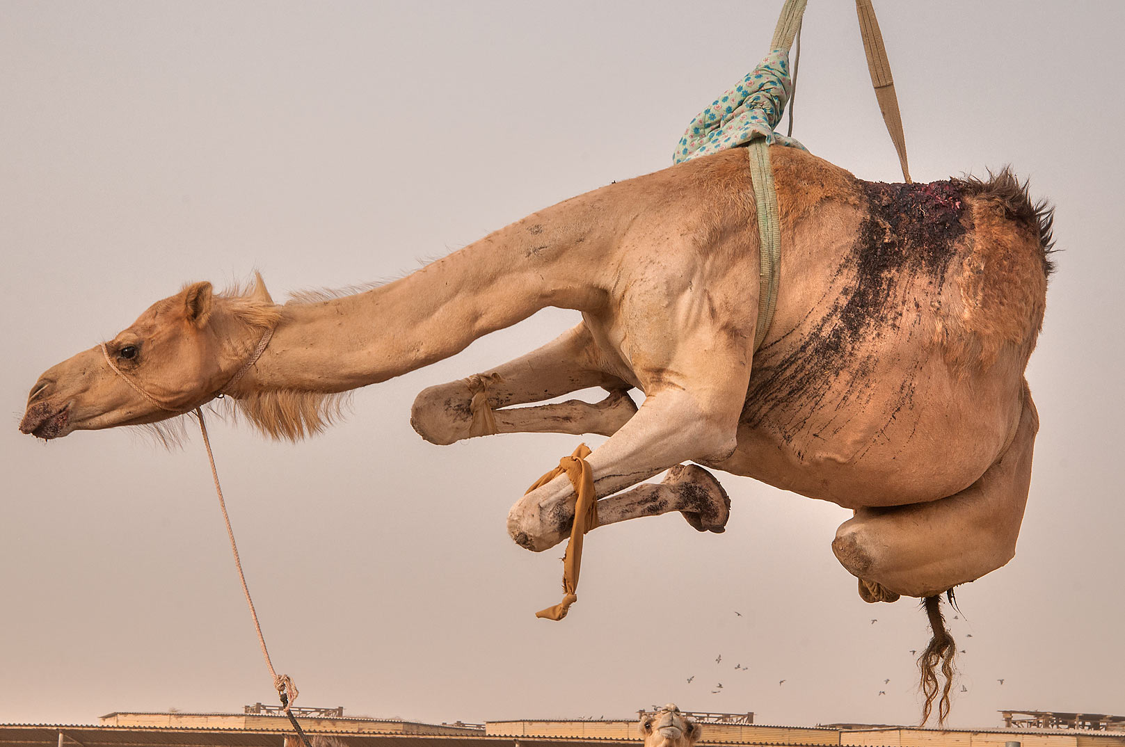 Camel with injured hump suspended on hydraulic...Market, Abu Hamour area. Doha, Qatar