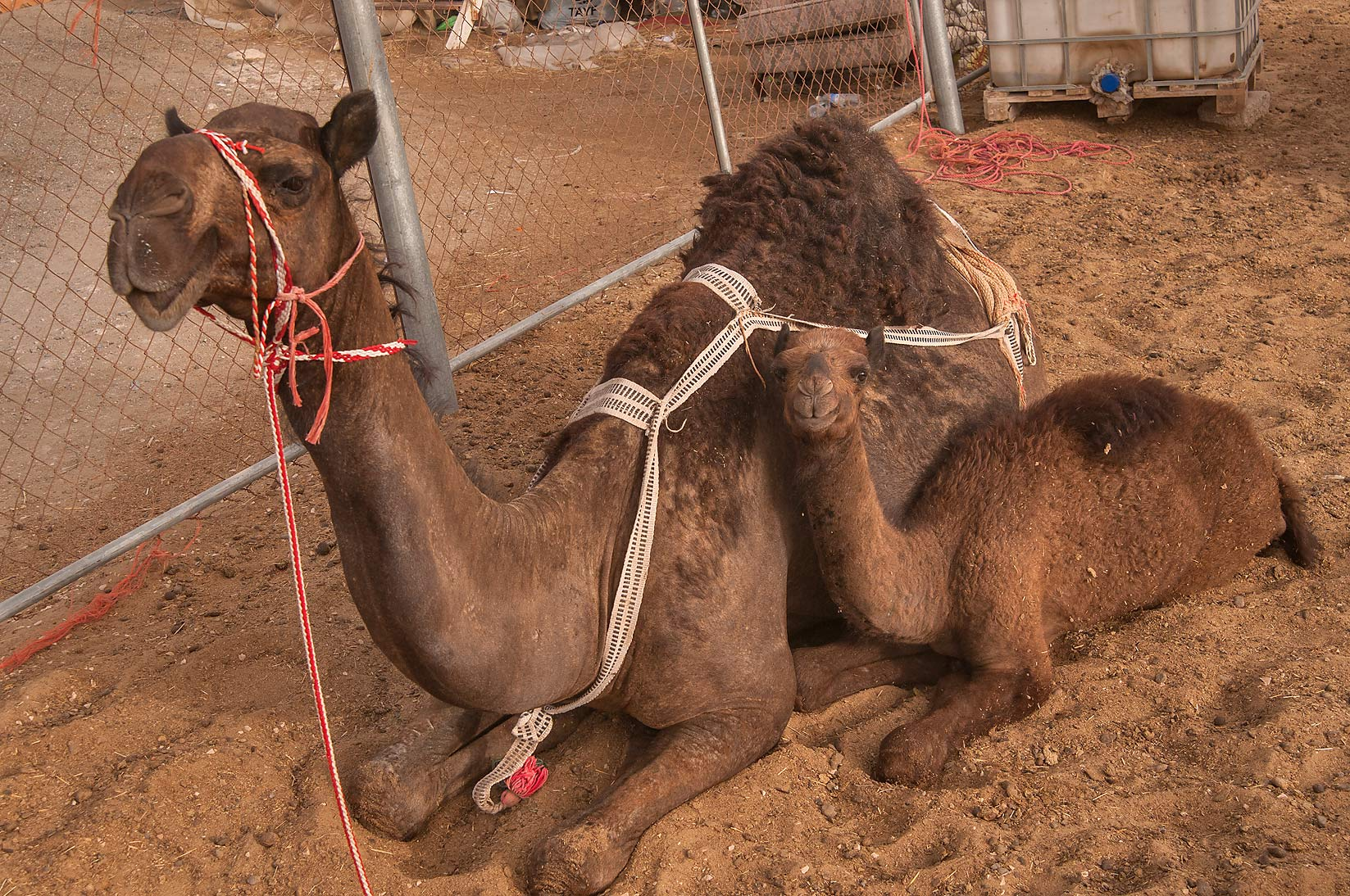 Family of dark camels in Livestock Market, Abu Hamour area. Doha, Qatar