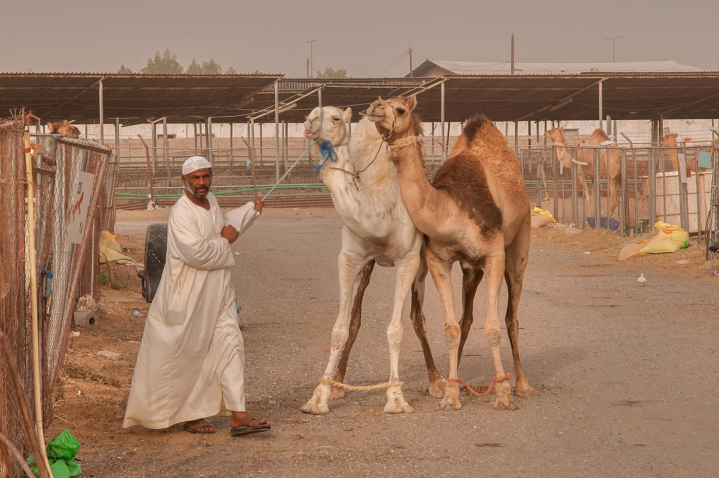 Person directing two camels in Livestock Market, Abu Hamour area. Doha, Qatar