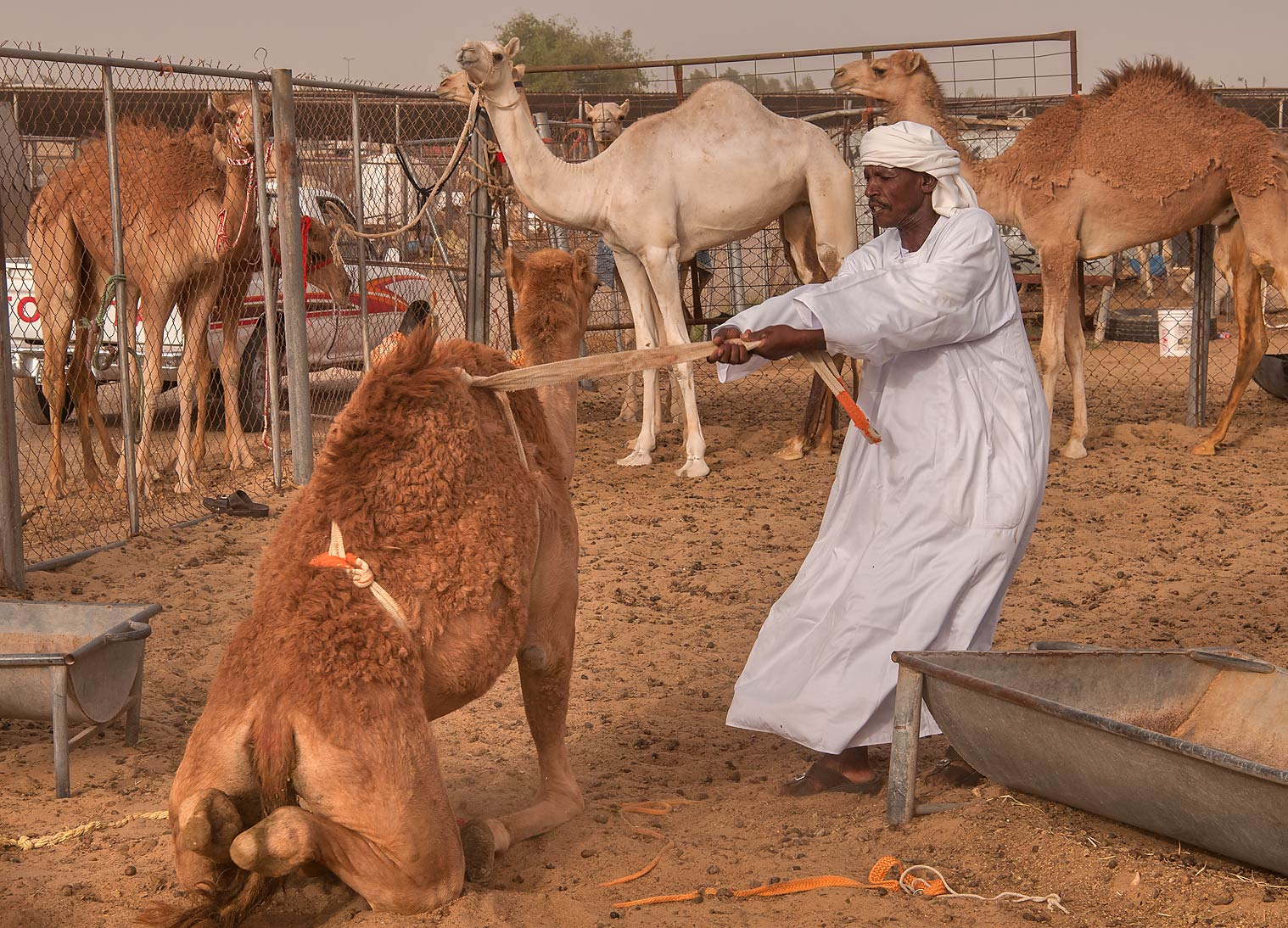 Person taming a camel in Livestock Market, Abu Hamour area. Doha, Qatar