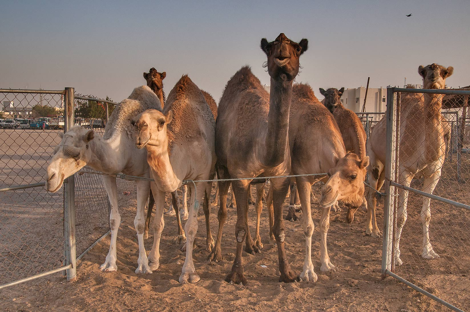 Six camels standing in row in Livestock Market, Abu Hamour area. Doha, Qatar