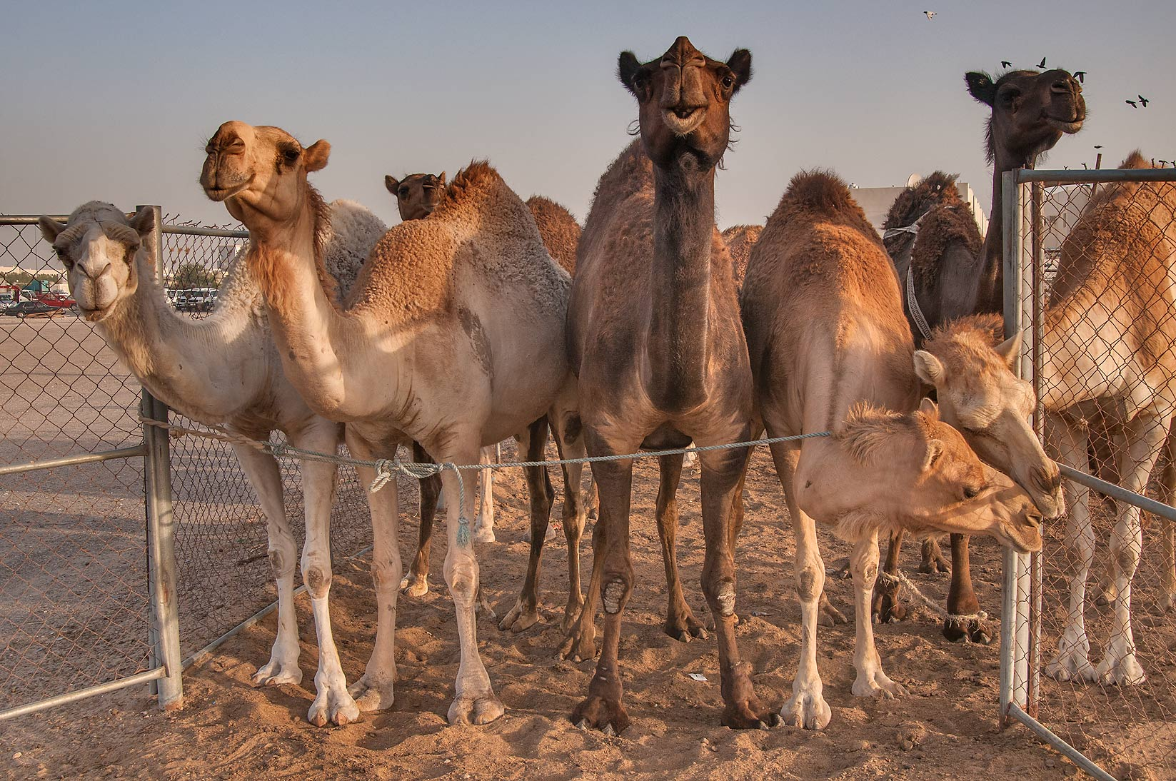 Row of camels in Livestock Market, Abu Hamour area. Doha, Qatar