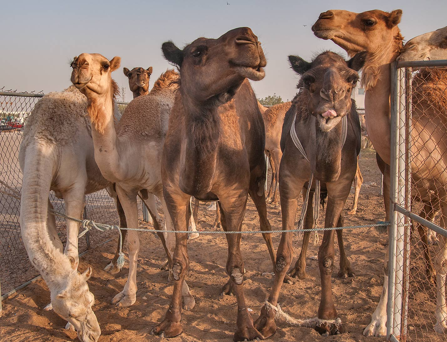 Standing camels in Livestock Market, Abu Hamour area. Doha, Qatar