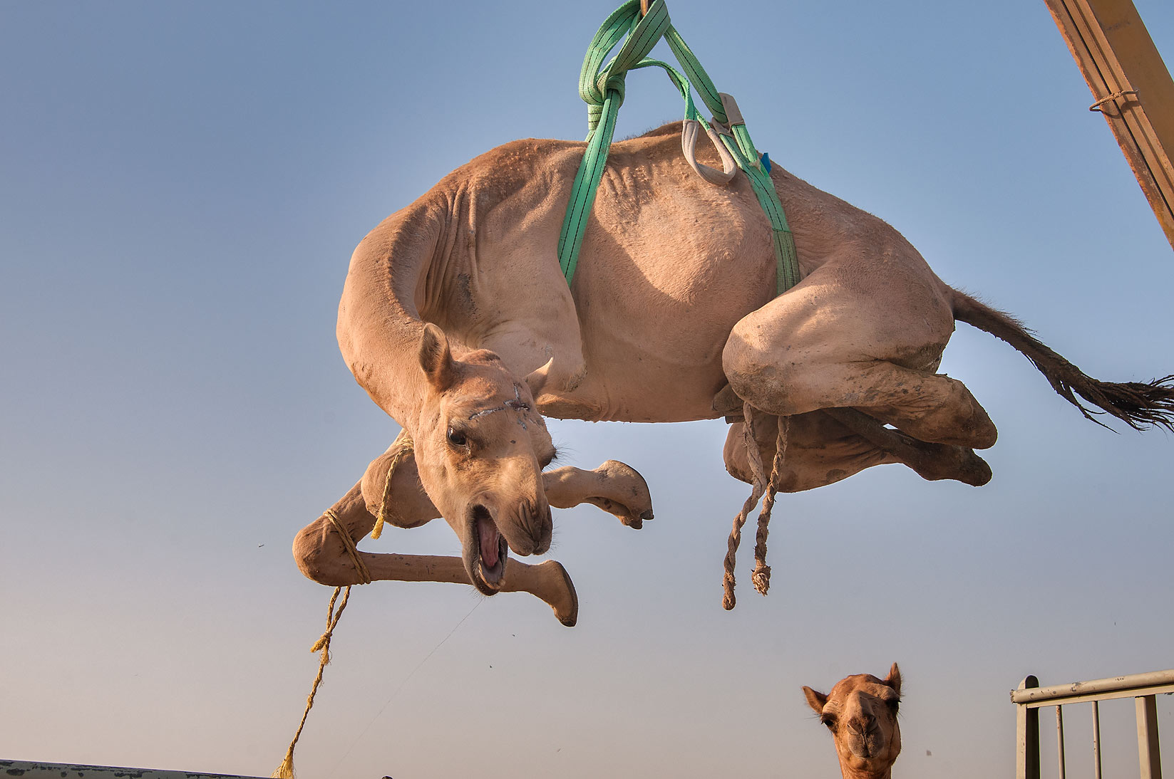 Camel spinning in air after it was lifted by...Market, Abu Hamour area. Doha, Qatar