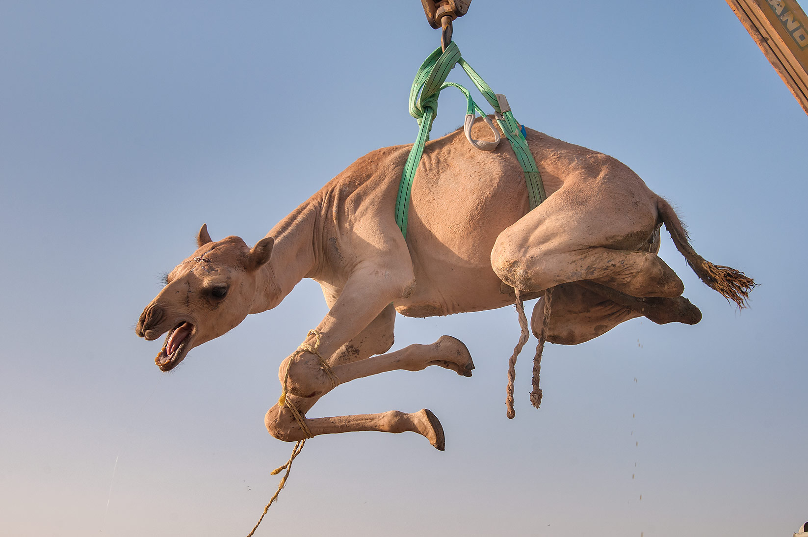 Camel lifted by hydraulic crane on a truck in...Market, Abu Hamour area. Doha, Qatar