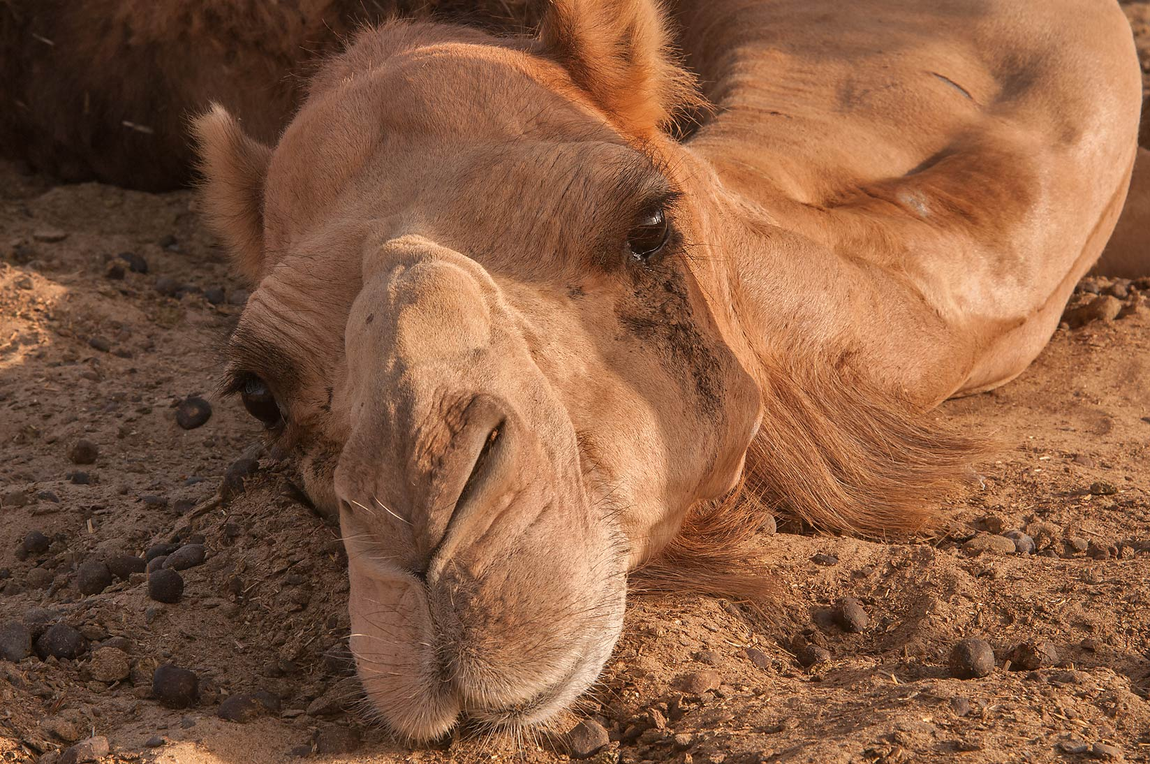 Resting camel with wrinkles in Livestock Market, Abu Hamour area. Doha, Qatar