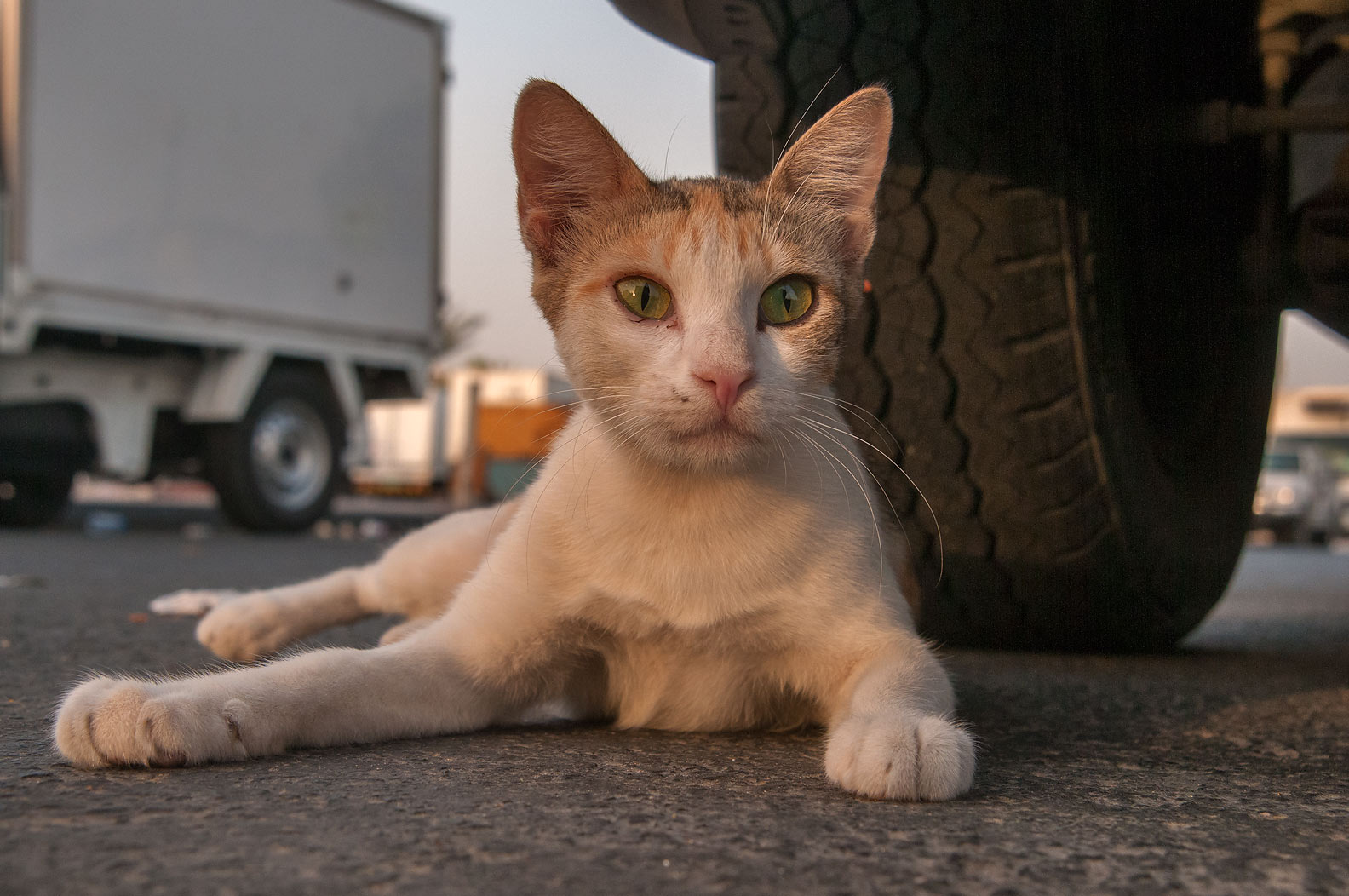 Arabian mau cat resting under a car near Wholesale Fish Market in Abu Hamour. Doha, Qatar
