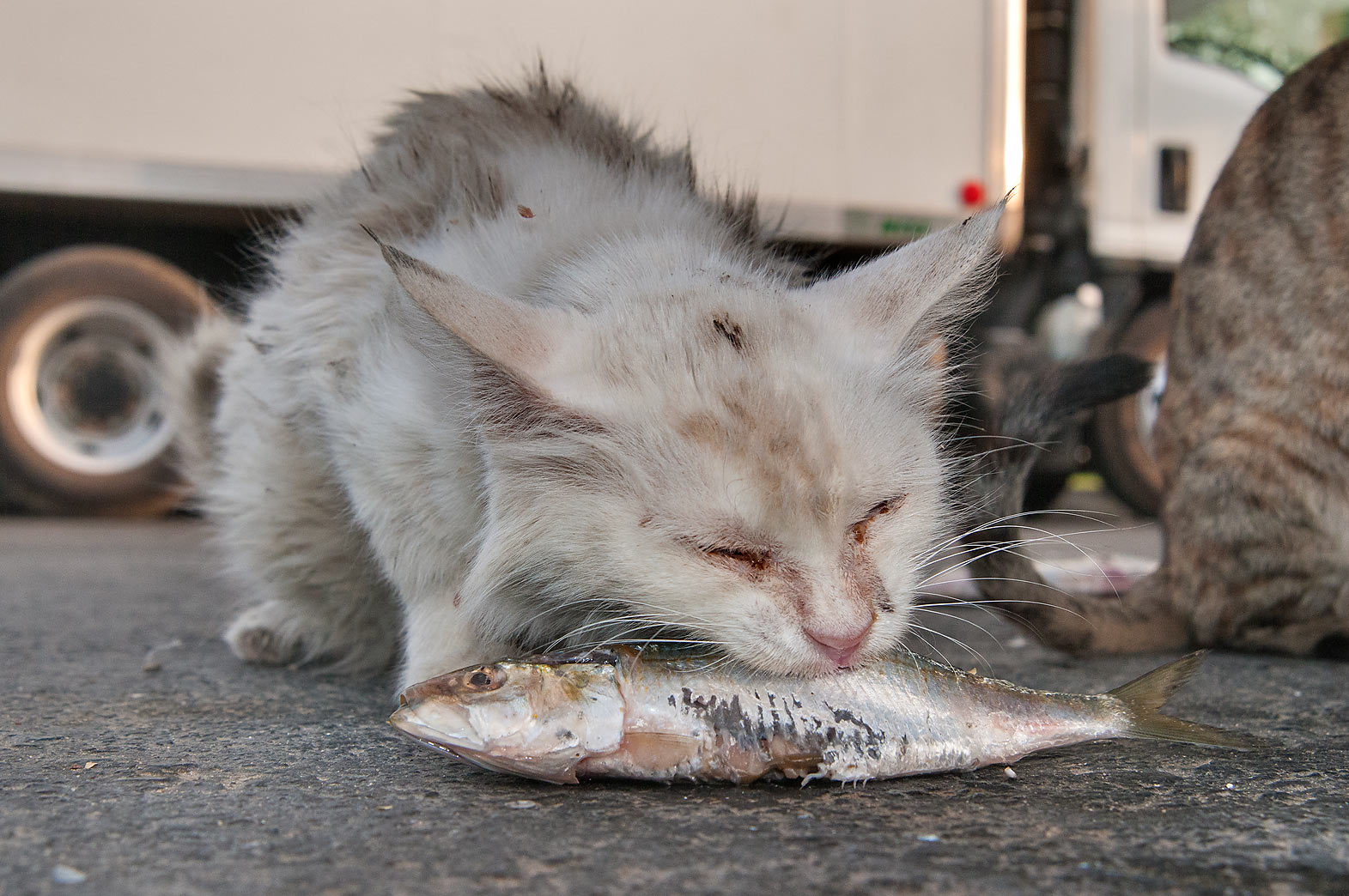 White cat eating a fish near Wholesale Fish Market in Abu Hamour. Doha, Qatar