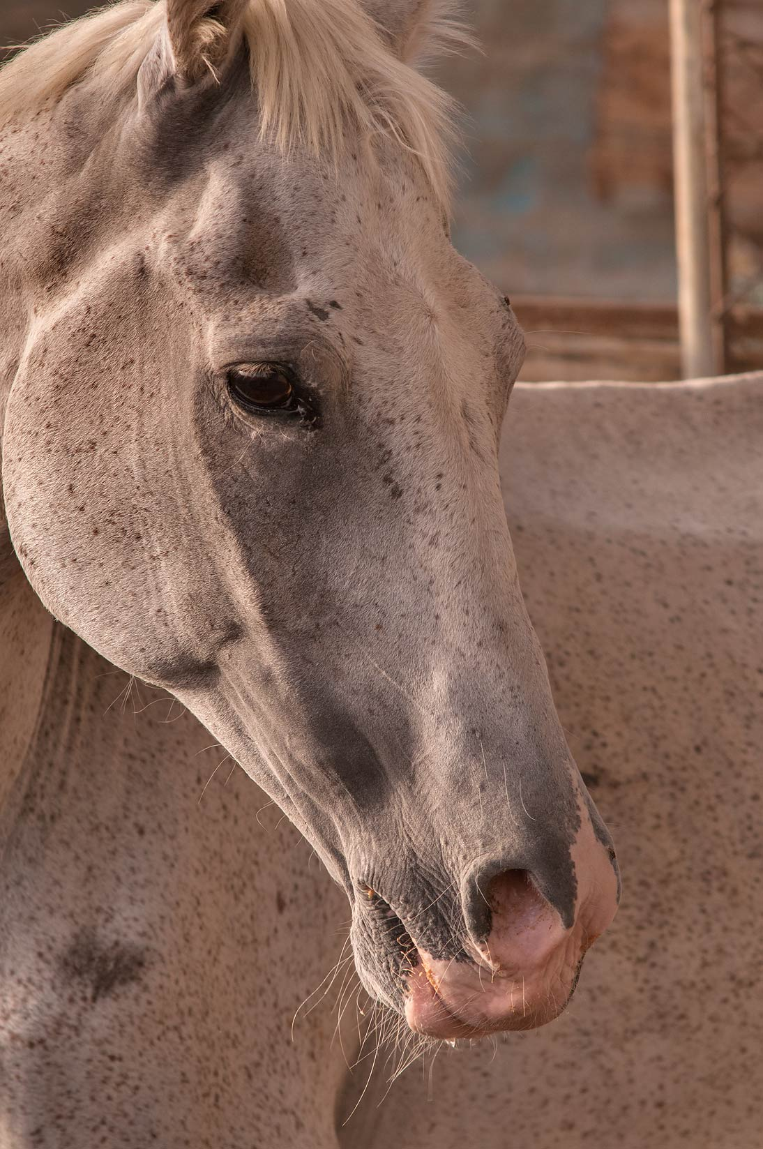 Horse in Livestocks Markets, Wholesale Markets area in Abu Hamour. Doha, Qatar