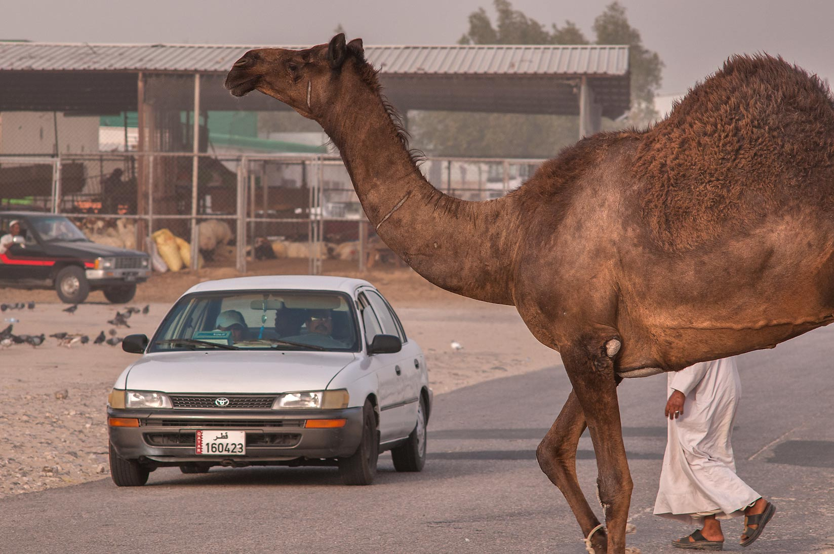 Big camel crossing a road in Livestocks Markets...area in Abu Hamour. Doha, Qatar