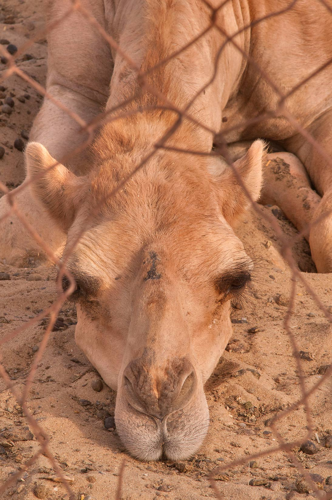 Camel resting on the ground in Livestocks Markets...area in Abu Hamour. Doha, Qatar