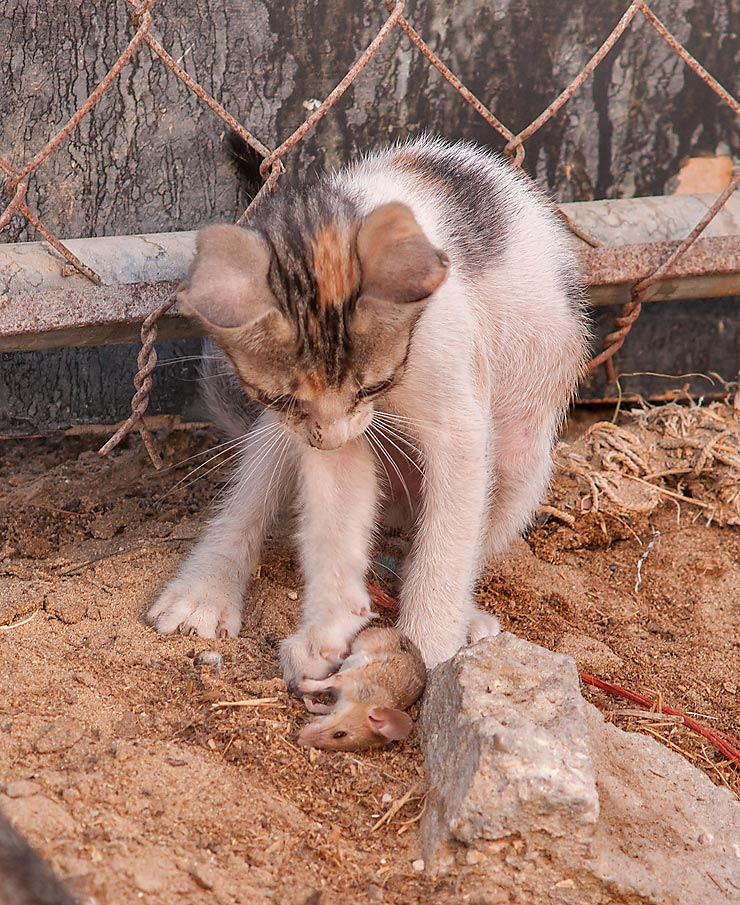 Kitten playing with a mouse in Camel Market...area in Abu Hamour. Doha, Qatar