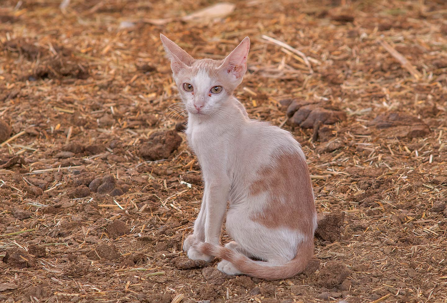 Pale brown cat sitting in Camel Market, Livestock Markets area in Abu Hamour. Doha, Qatar