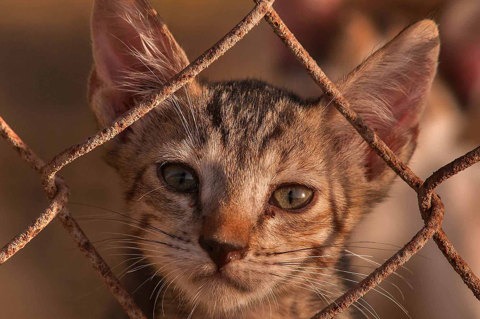 Tabby kitten looking from sheep pen, Livestock Markets area in Abu Hamour. Doha, Qatar