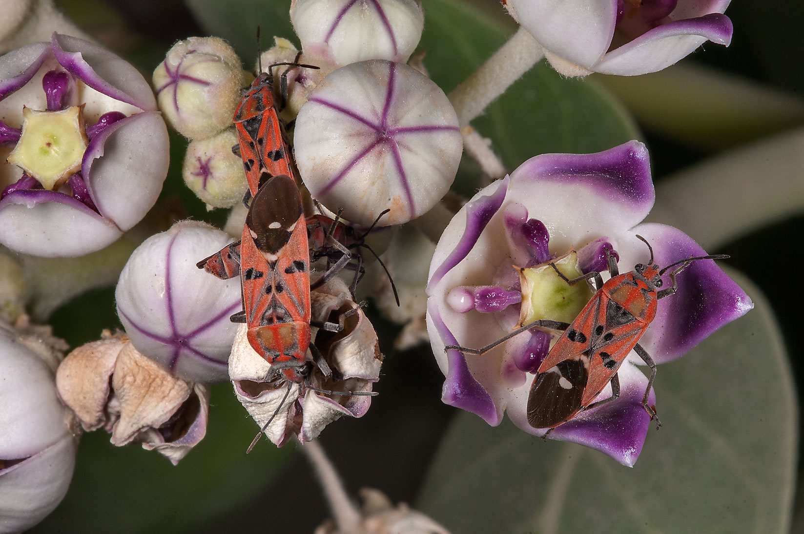 Milkweed bugs on flowers of Sodom Apple...Haloul St. in Abu Hamour. Doha, Qatar
