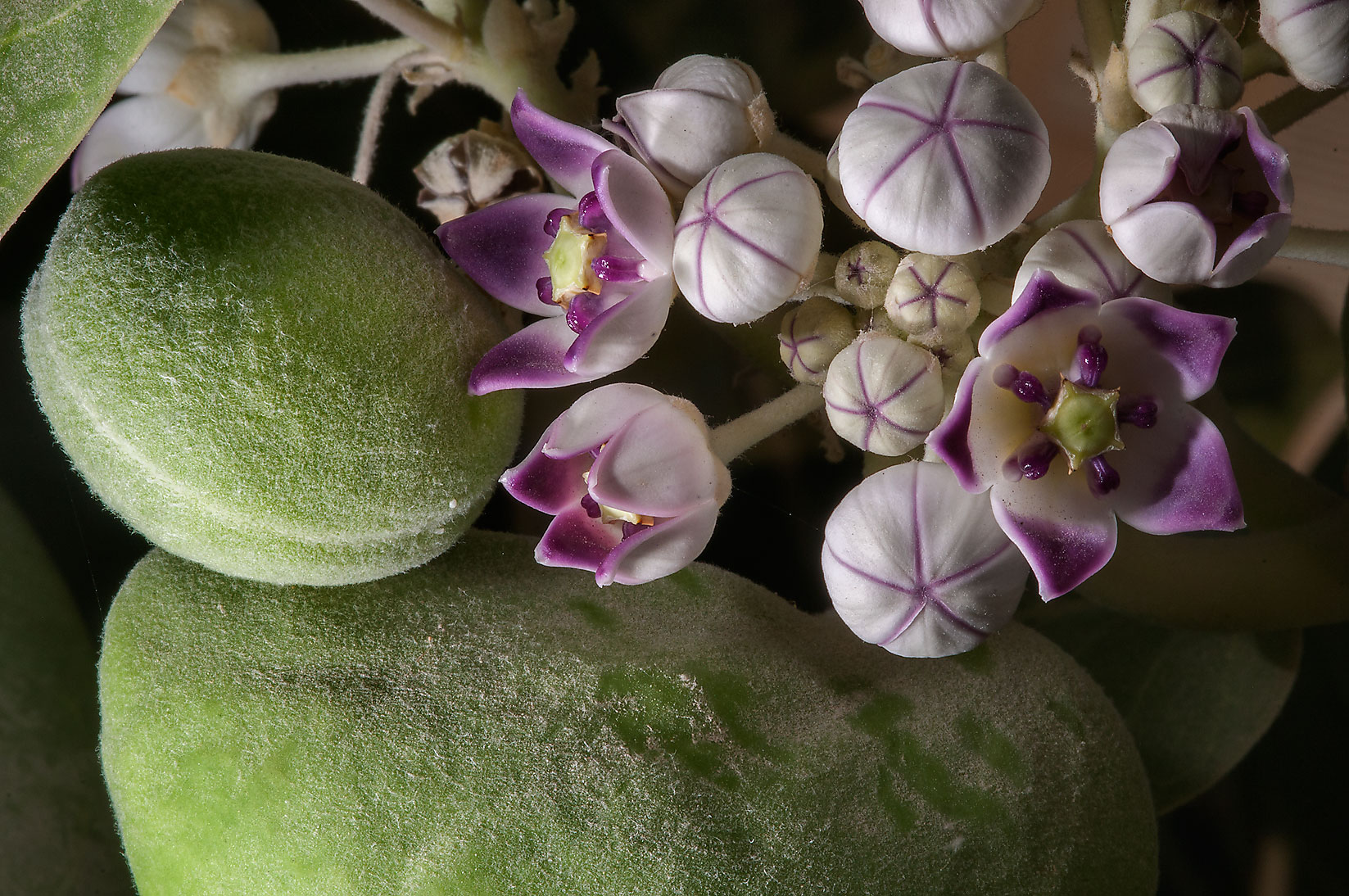 Flowers and fruits of Sodom Apple (Calotropis...Haloul St. in Abu Hamour. Doha, Qatar