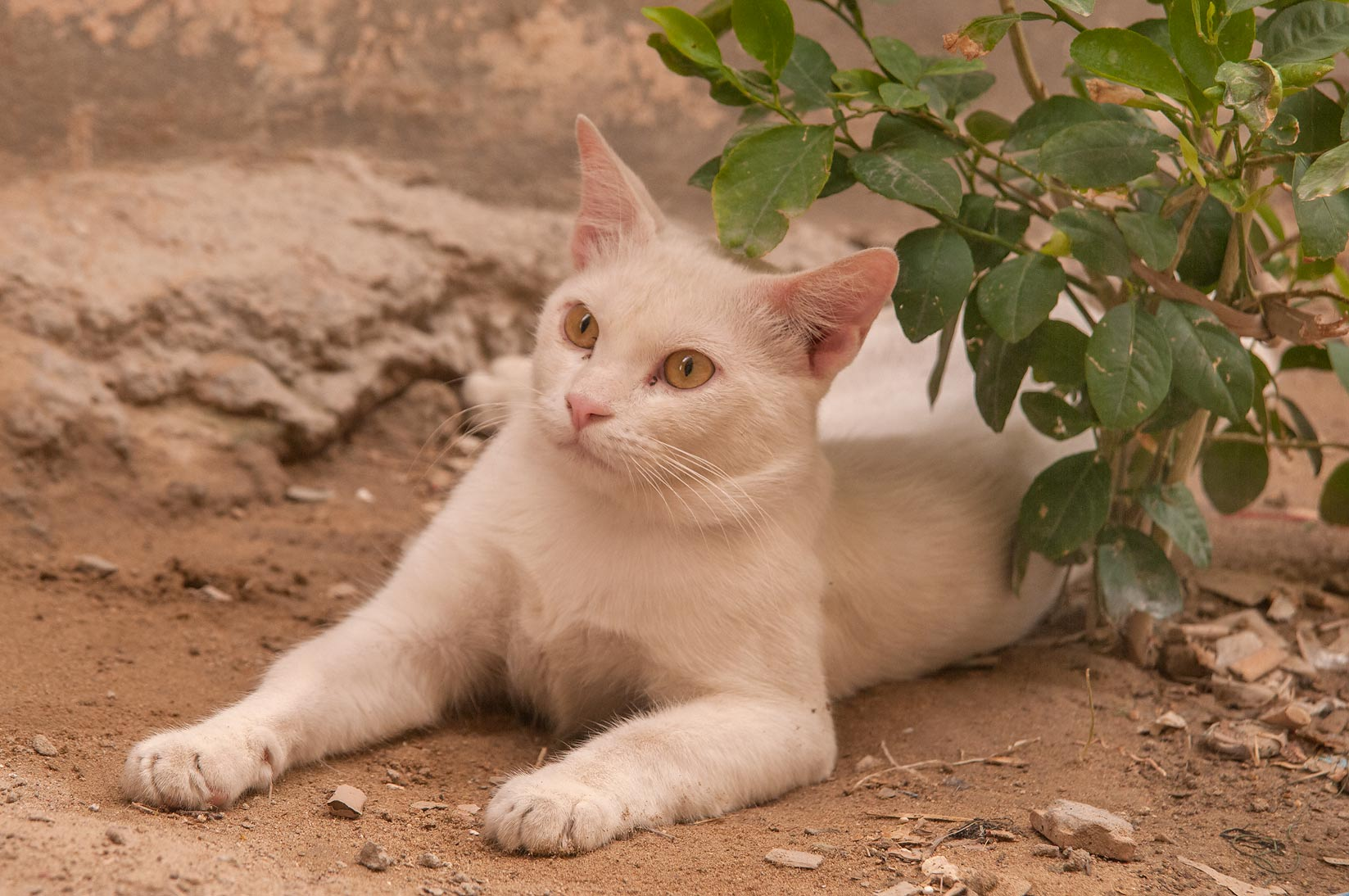 White cat resting in sikka parallel to Abdullah Bin Thani St., Musheirib area. Doha, Qatar
