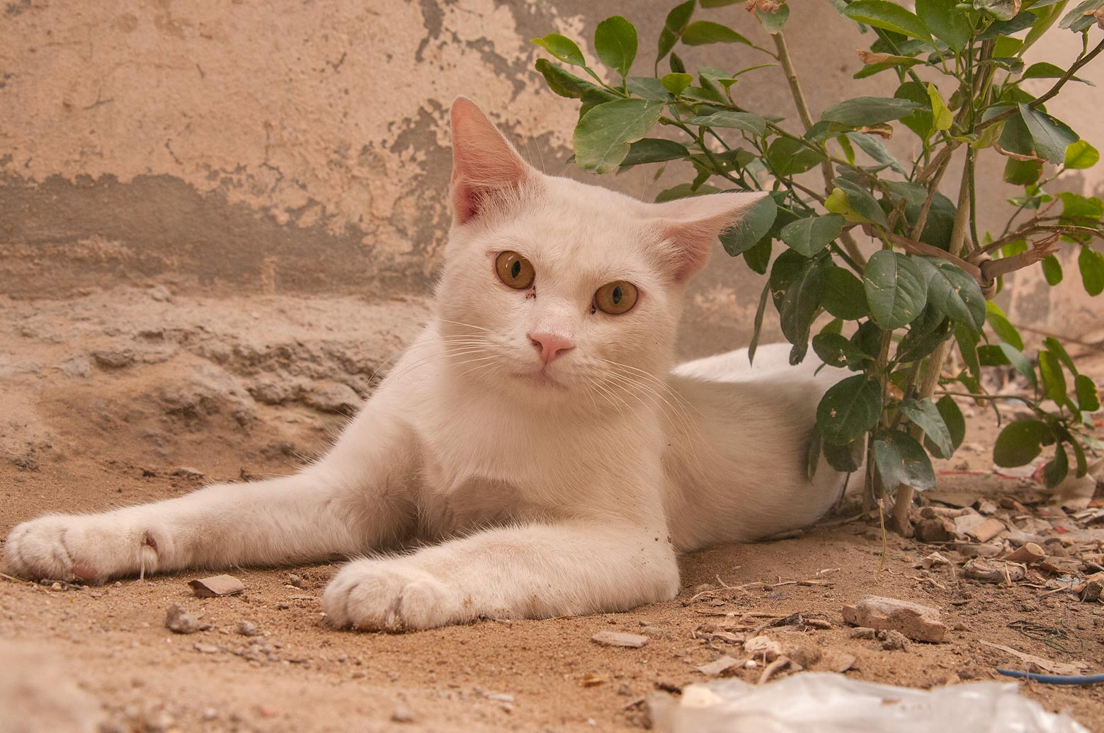 White cat sitting in sikka parallel to Abdullah Bin Thani St., Musheirib area. Doha, Qatar