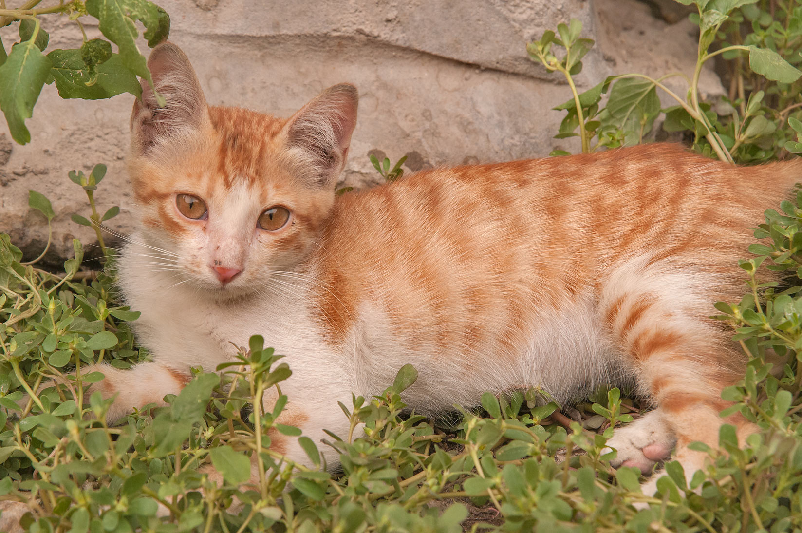 Brown kitten resting in purslane and amaranth...St., Musheirib area. Doha, Qatar