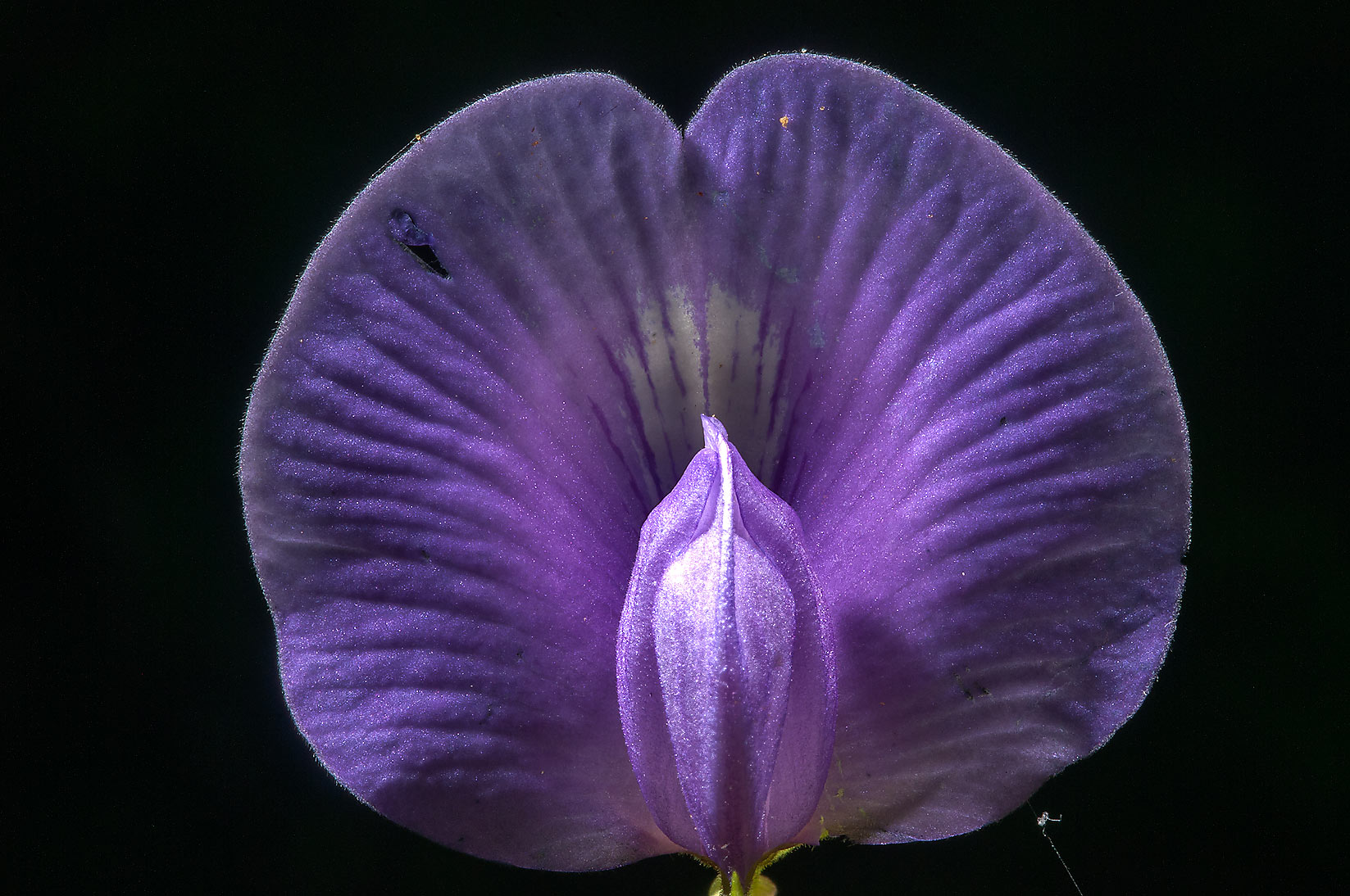 Butterfly pea (Centrosema virginianum) on Little...National Forest. Richards, Texas