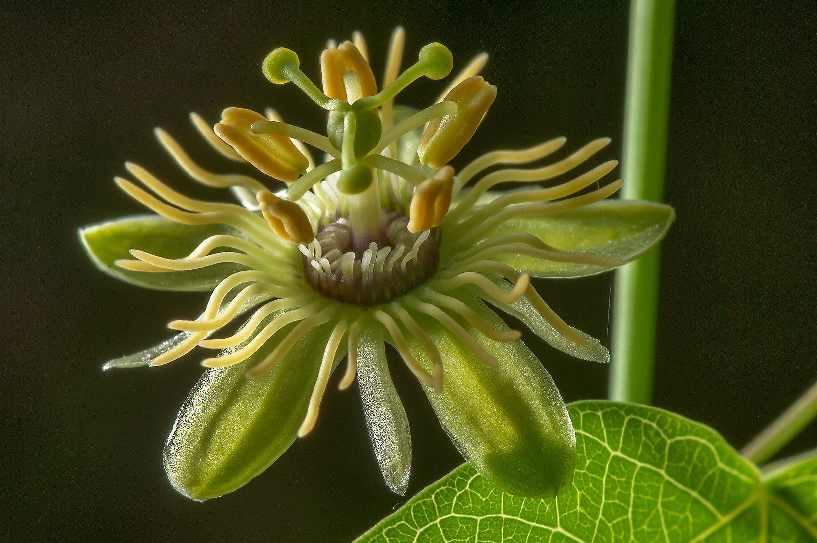 Close up of yellow and green passion flower...National Forest. Richards, Texas