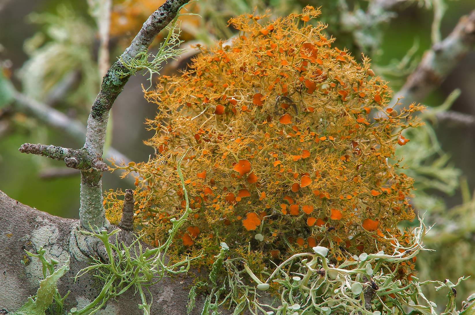 Slender orange bush lichen (Teloschistes exilis) in Lake Bryan Park. Bryan, Texas