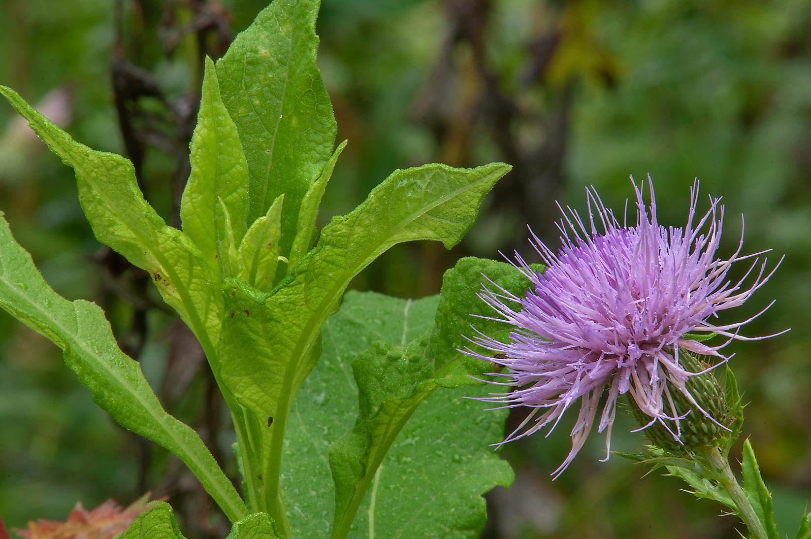 Frostweed and a thistle on Racoon Run Trail in Lick Creek Park. College Station, Texas