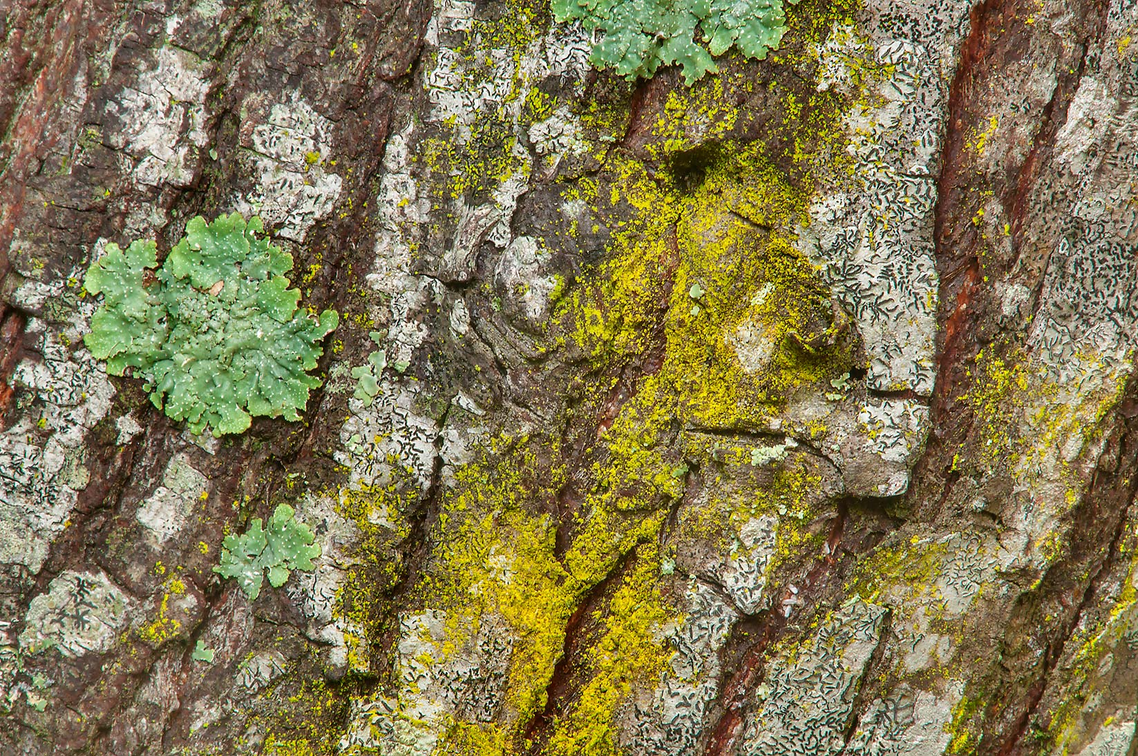 Yellow and green lichens on tree bark on Racoon...Creek Park. College Station, Texas