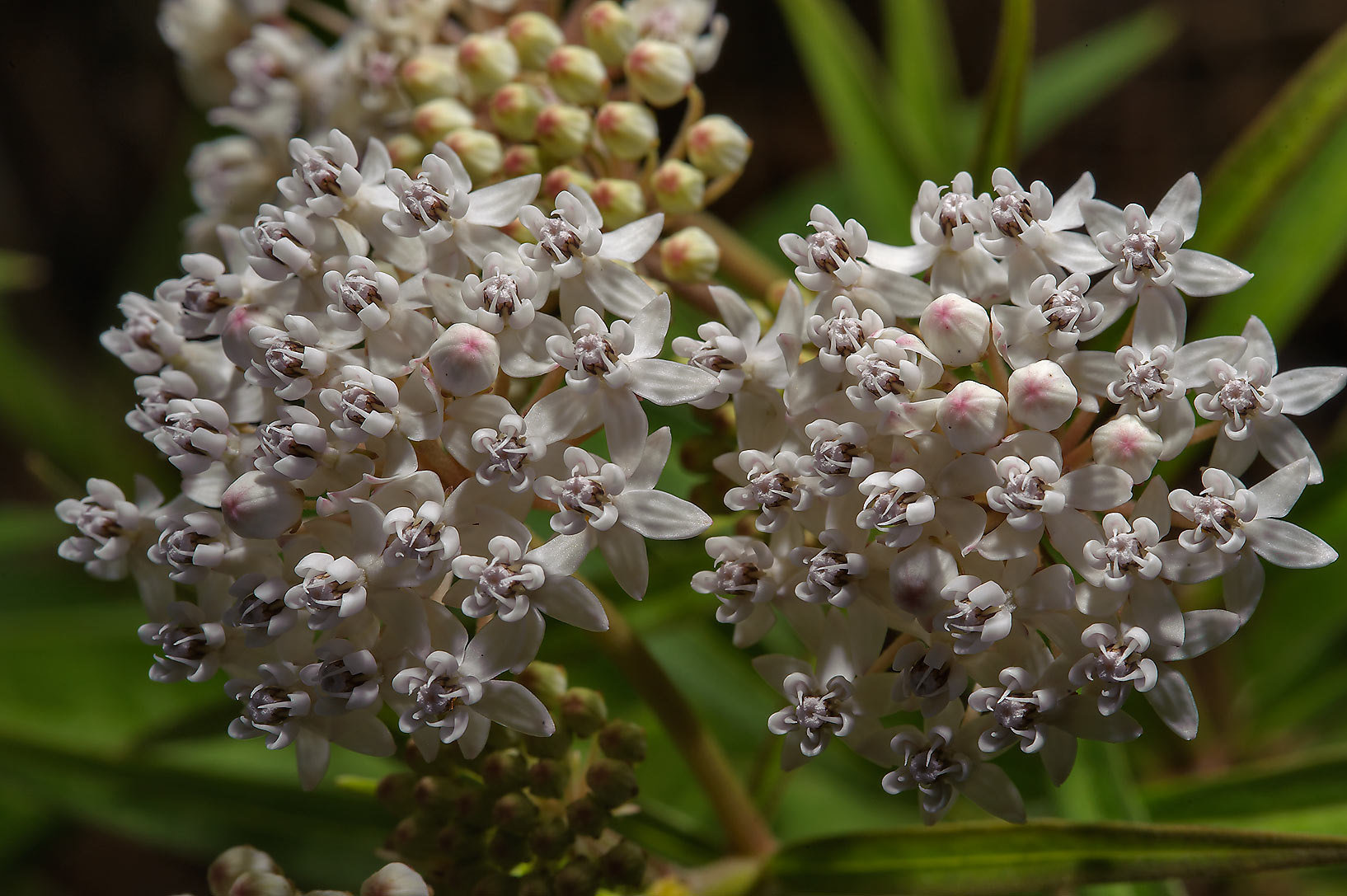 Shore milkweed (Asclepias perennis) in Mercer...Gardens. Humble (Houston area), Texas