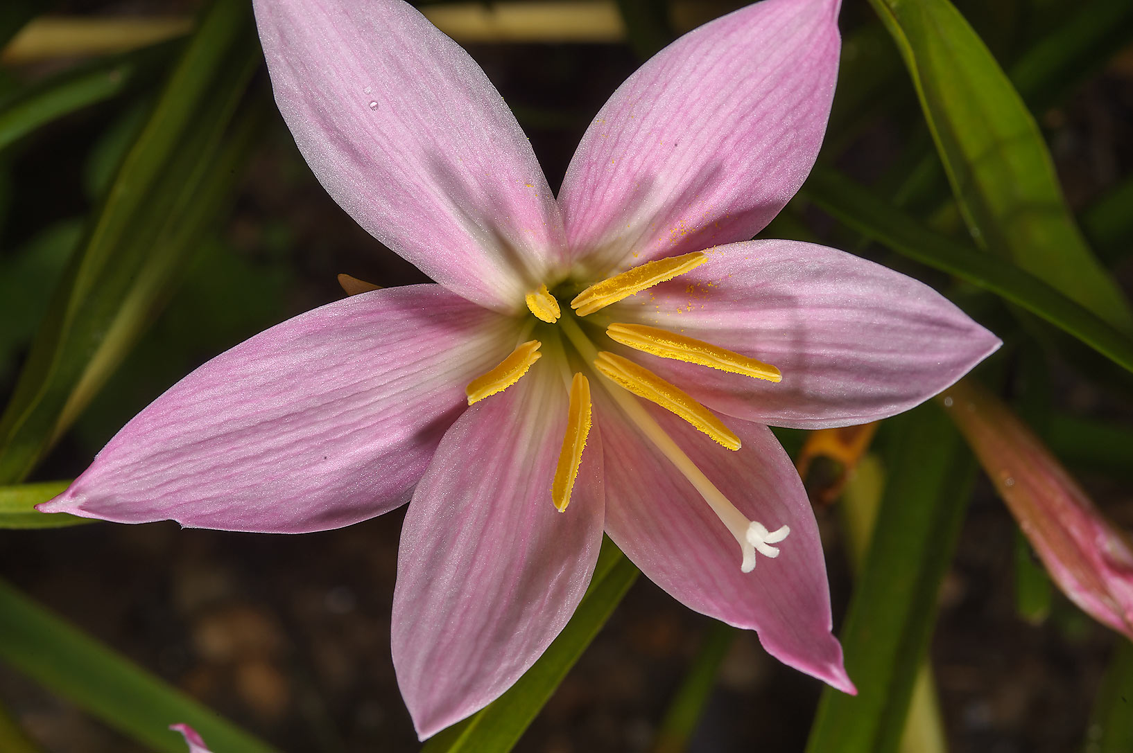 Pink rain lily in Mercer Arboretum and Botanical Gardens. Humble (Houston area), Texas