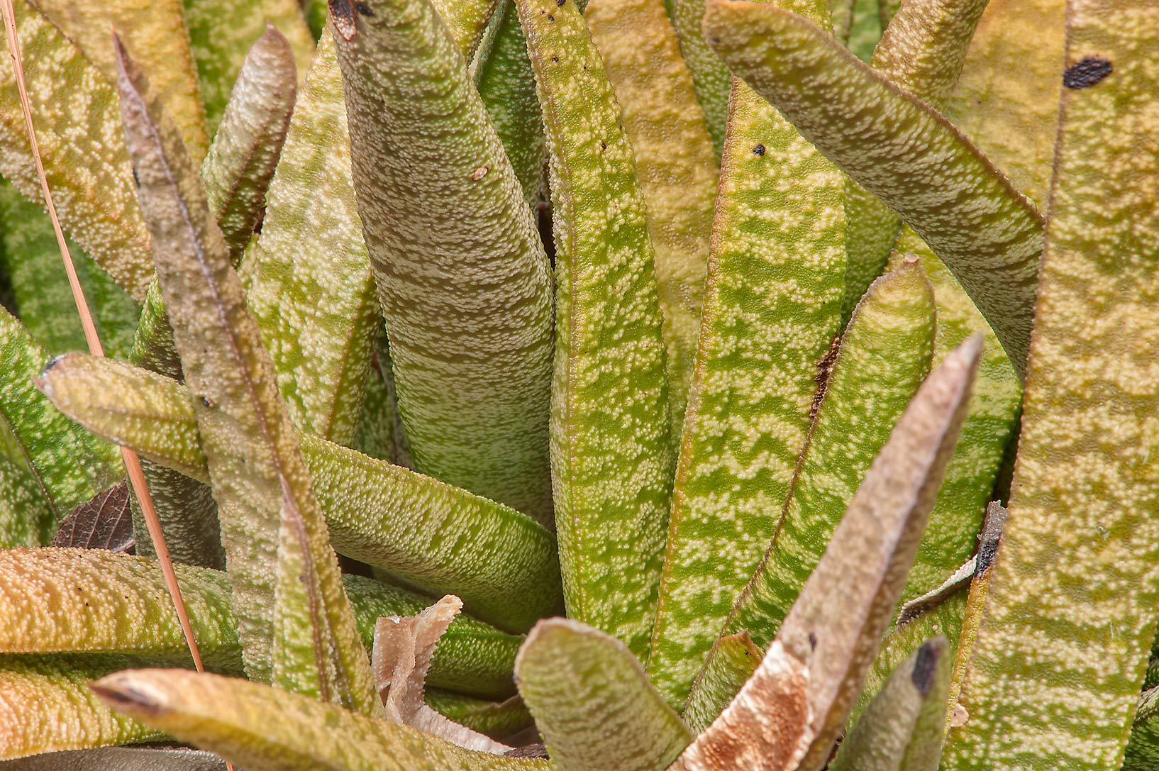 Batesian cow-tongue cactus (Gasteria batesiana...Gardens. Humble (Houston area), Texas
